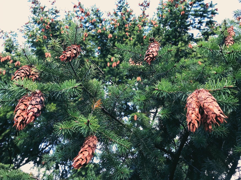 pine-cones.jpg