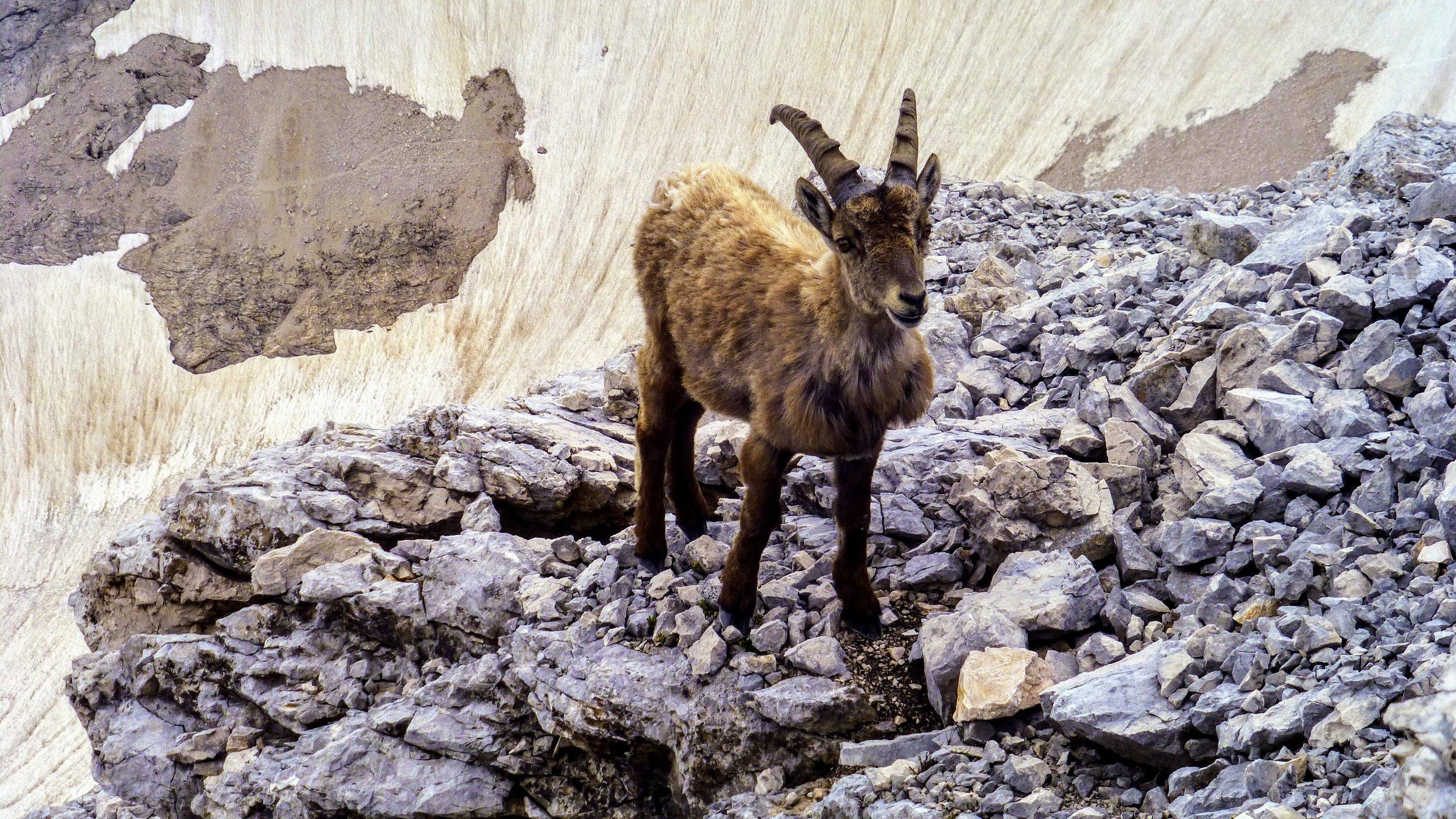 The mountain goat