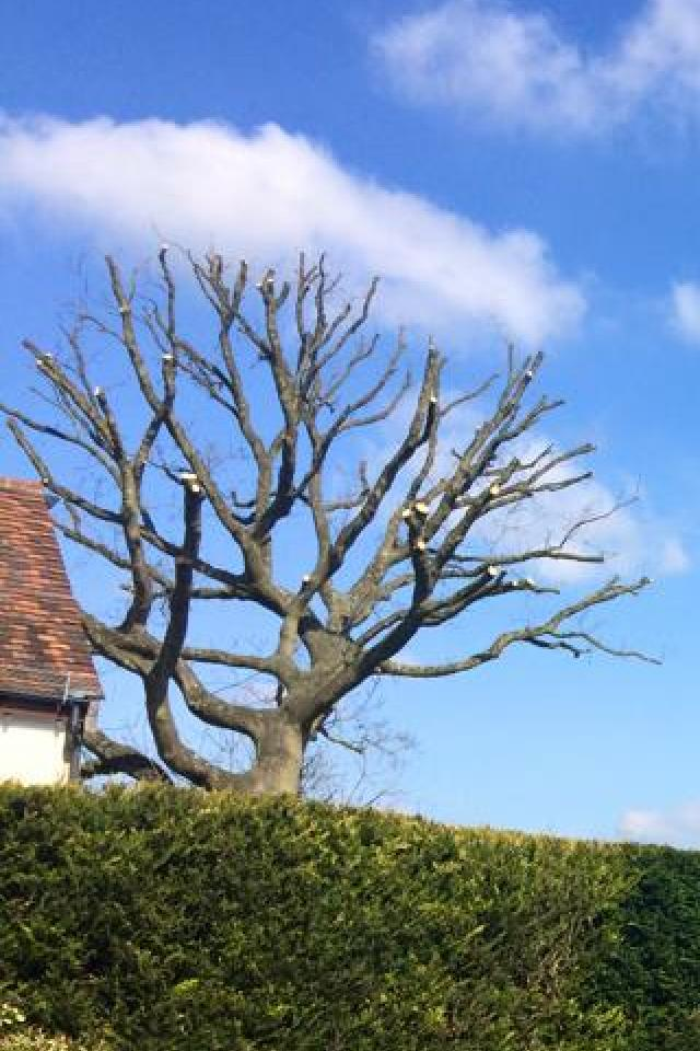 Large oak tree in Surrey reduced