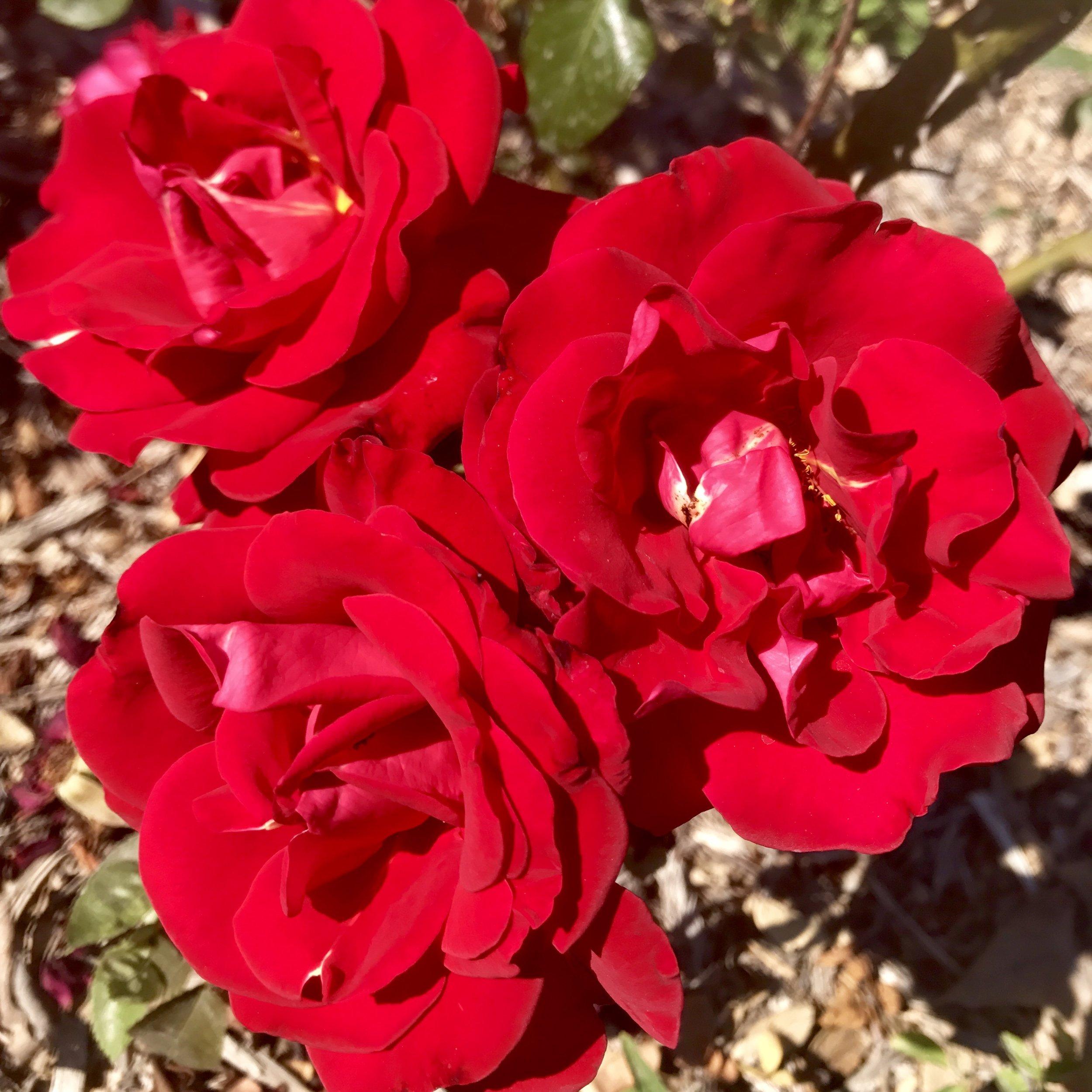 10.17.17 'gardens red roses'.jpg