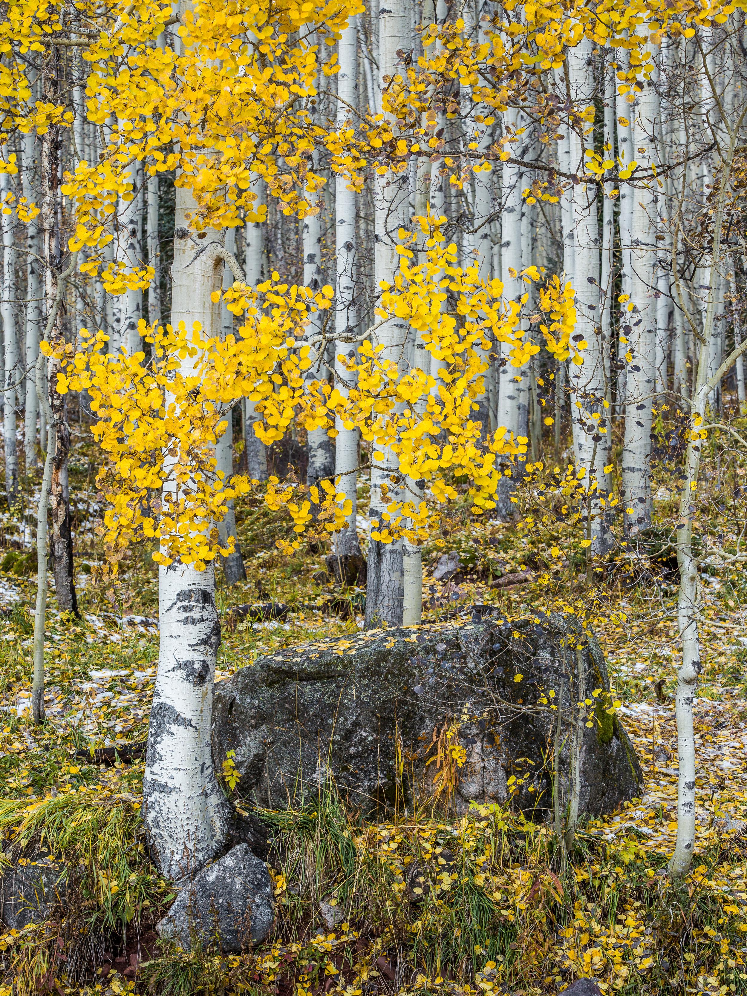 Aspen Trees, Snowmass Wilderness                            © Andrew Lockwood 2017