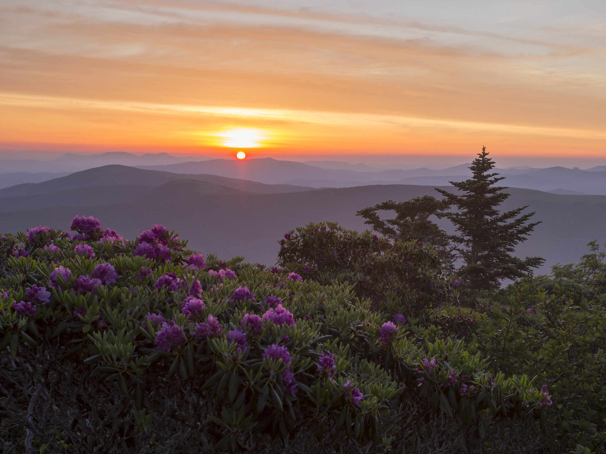 Rhododendron Sunrise, North Carolina