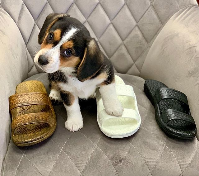 Julie can't decide if she wants #jandals that match her brown, white or black fur...! #palihawaii #palihawaiijandals #palihawaiisandals