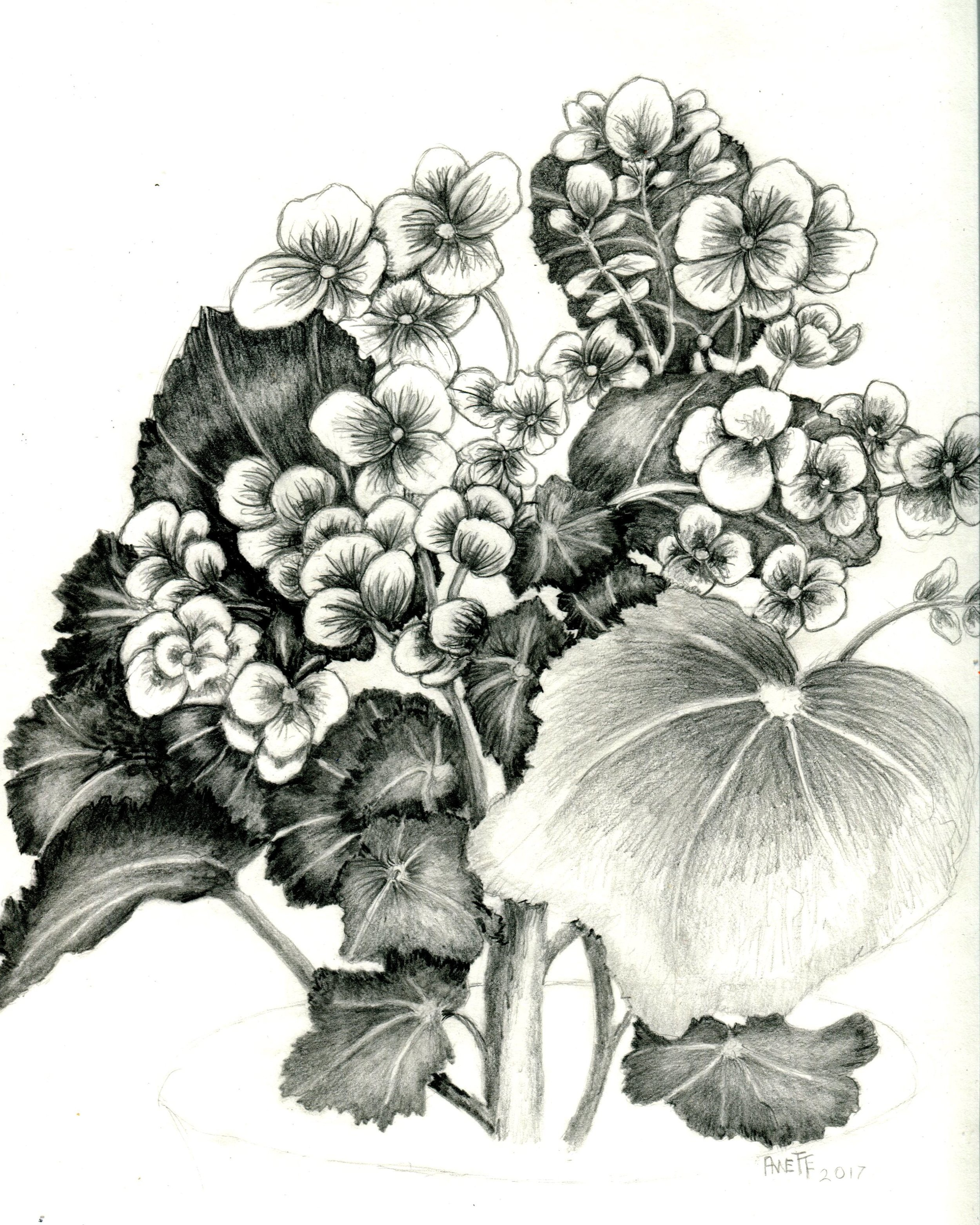 25A ANNETTE FARLAND, BEGONIA, GRAPHITE ON PAPER
