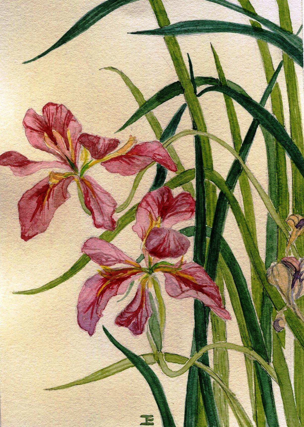 93B JEAN ELWORTHY, LOUISIANA IRIS, WATERCOLOUR ON PAPER