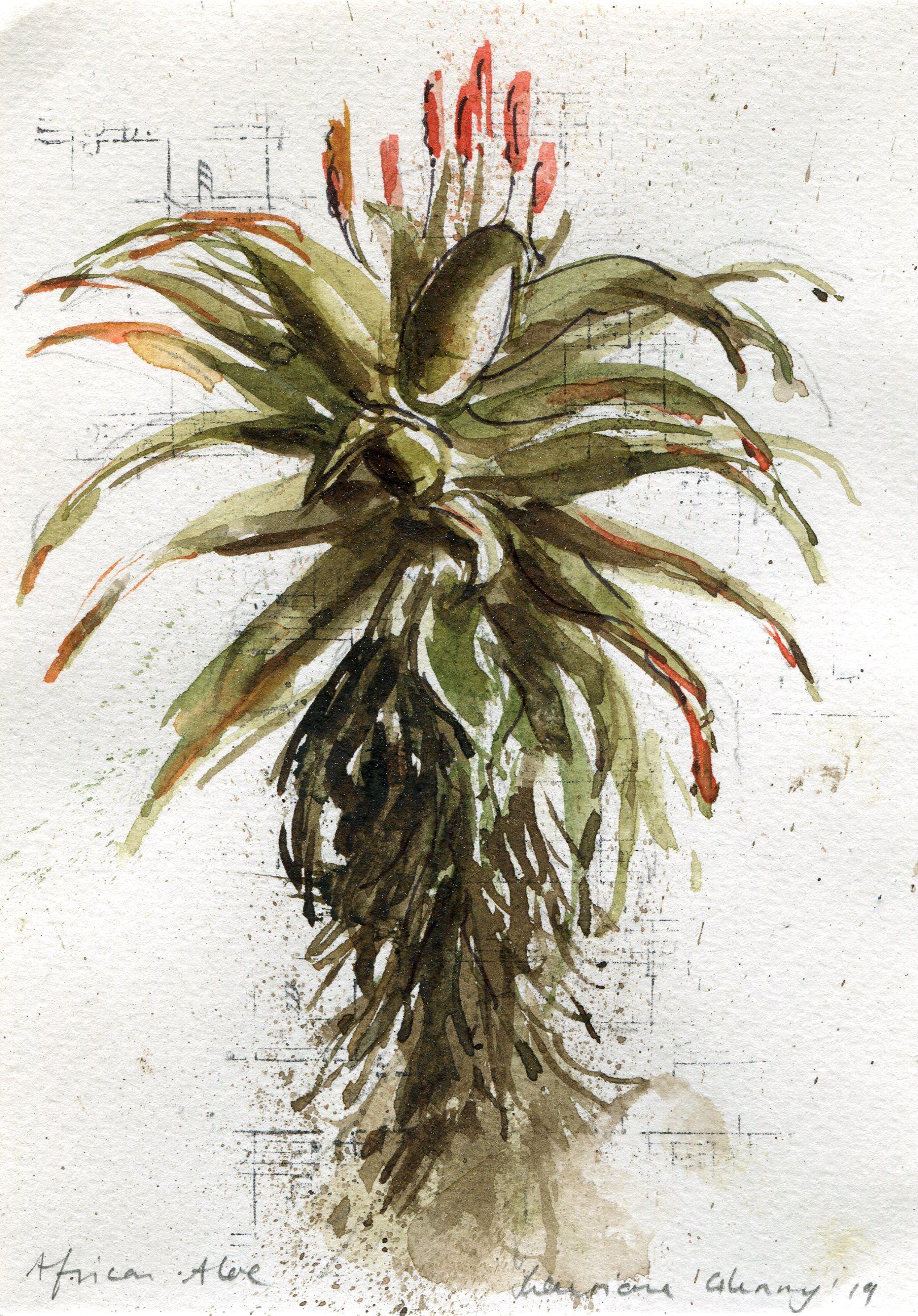 39d  Lauriana Glenny   Aloe IV  watercolour on paper