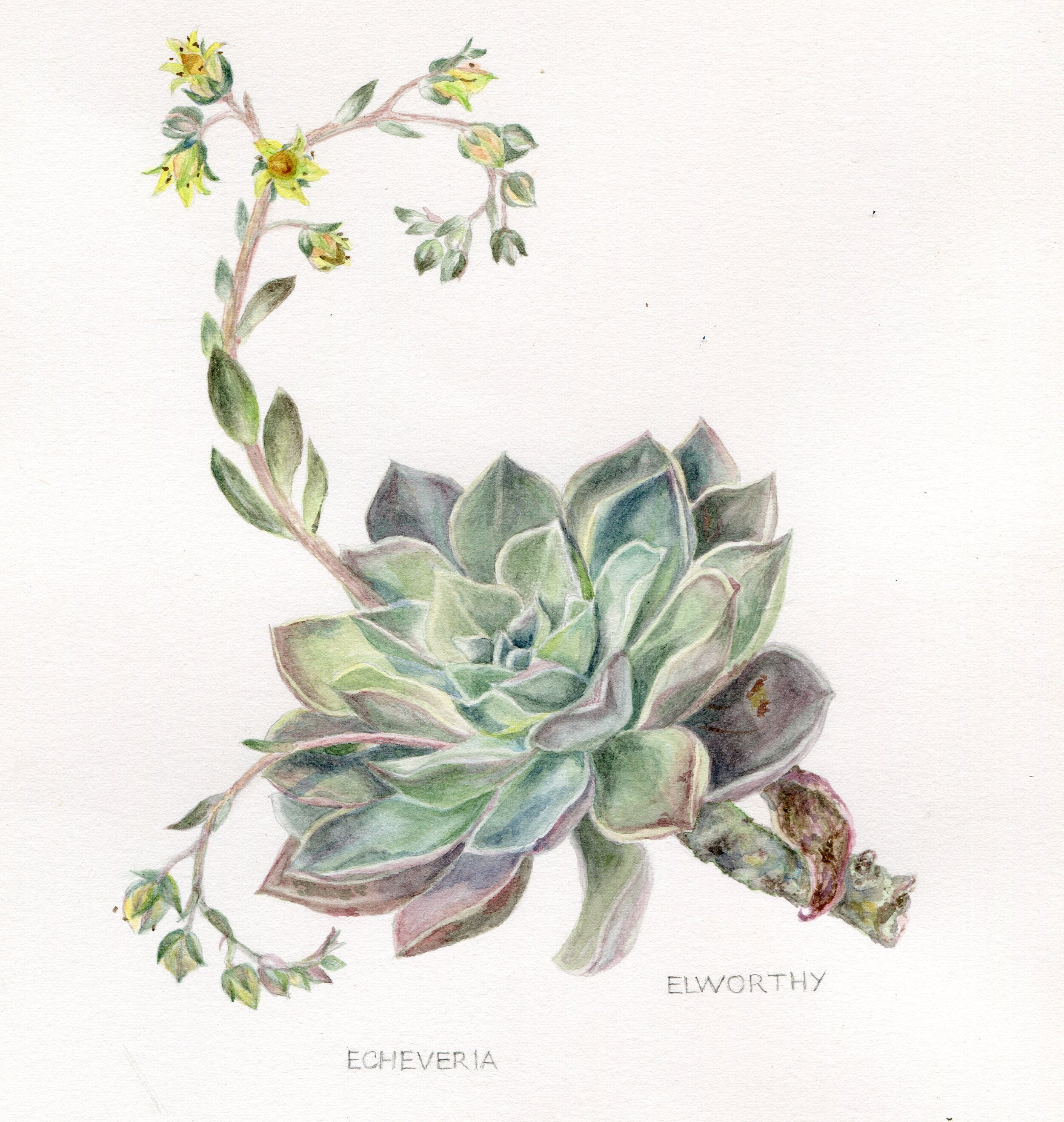 60a  Jean Elworthy  Echeveria  watercolour on paper