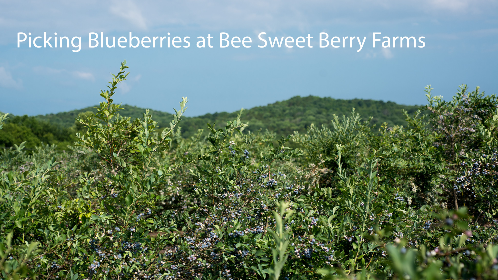 Amazing blueberry bushes set in the hills of Middle Tennessee