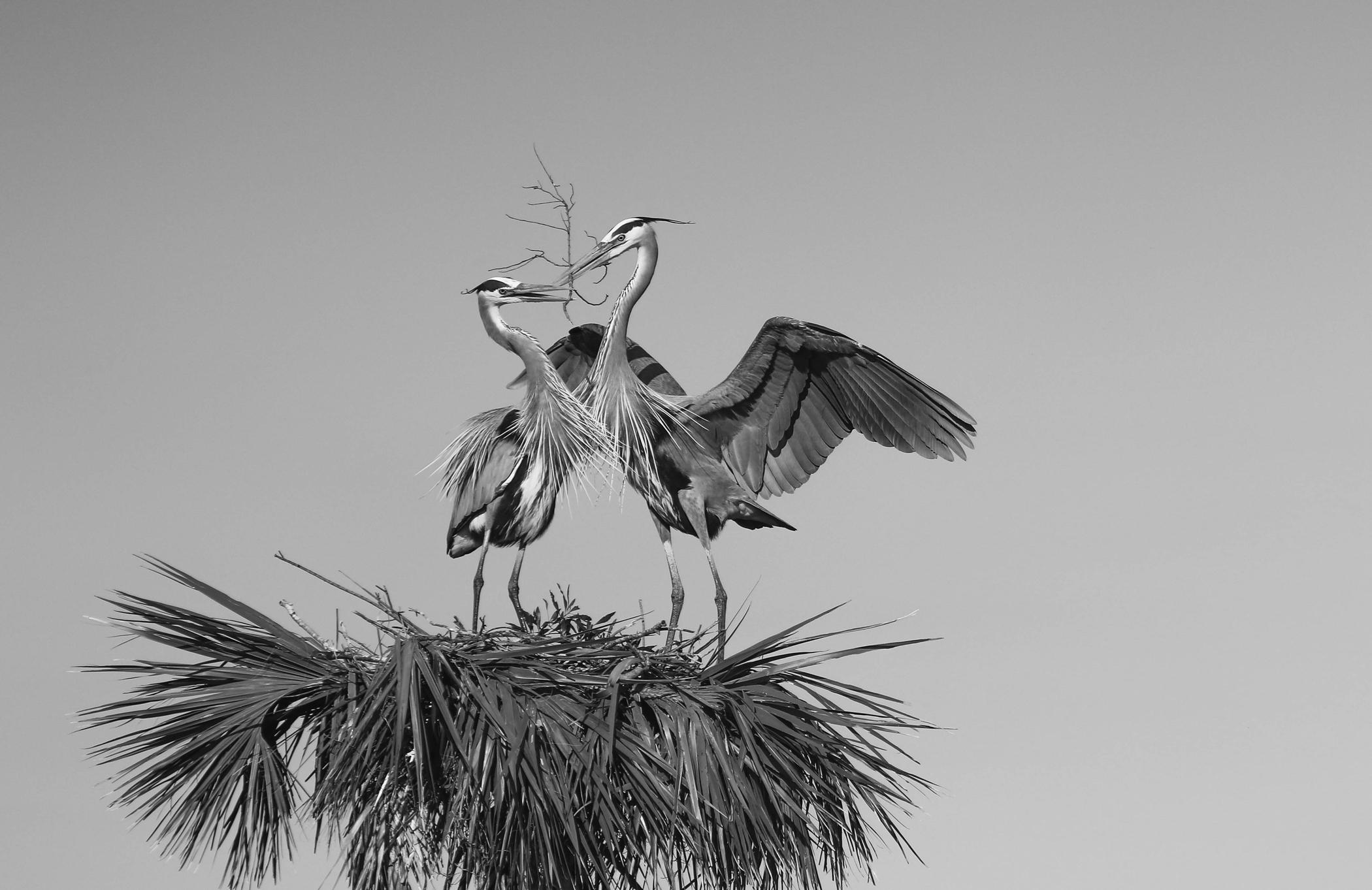 Nesting Blue Herons – Ken Bohlman – Menomonee Falls Camera Club