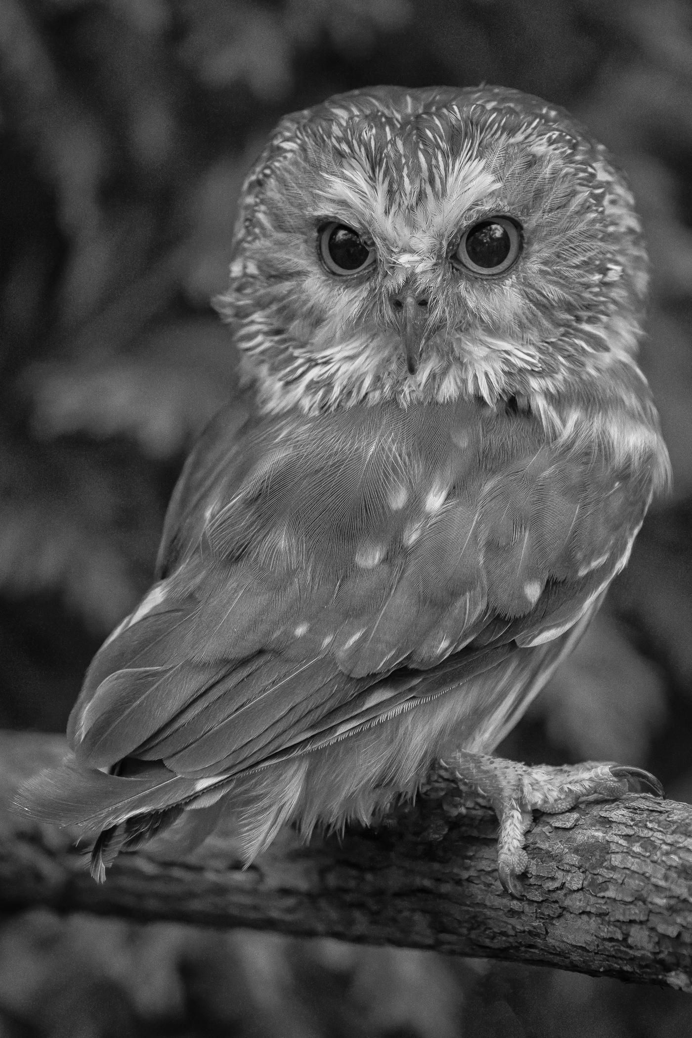 1827~MNP~Northern_Saw_Whet_Owl~Lynch~Patrick~MFC.jpg