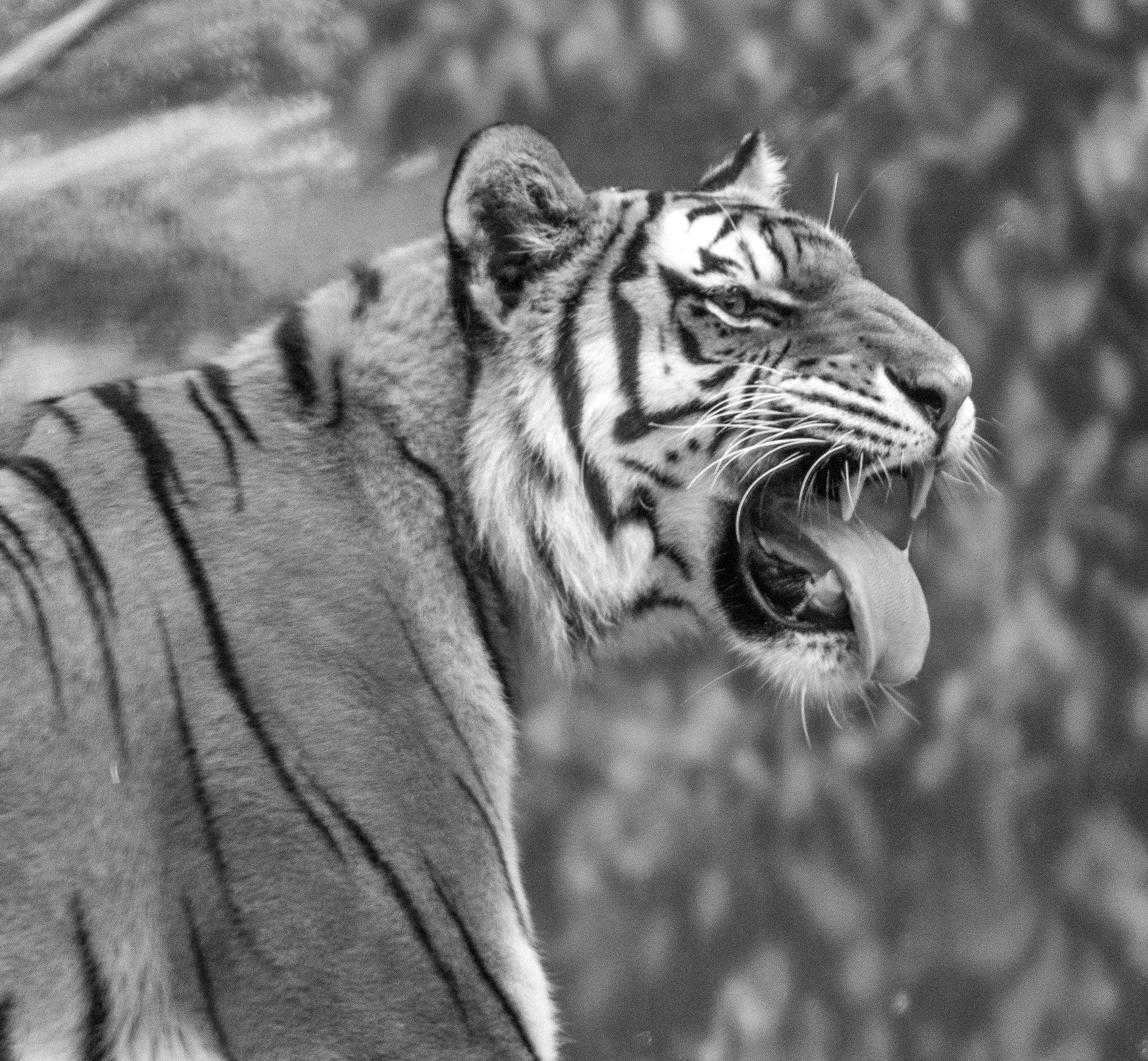 2988~MNP~Tiger~Hokanson~Karl~MFC.jpg