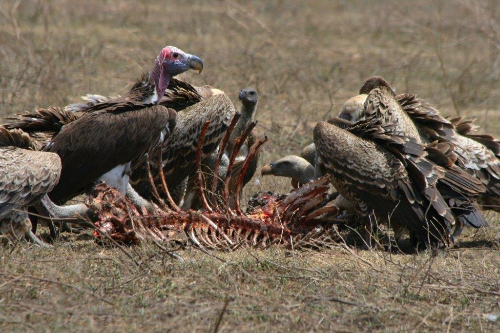 6360~CNP~Vultures~Braun~Kathleen~PPM.jpg