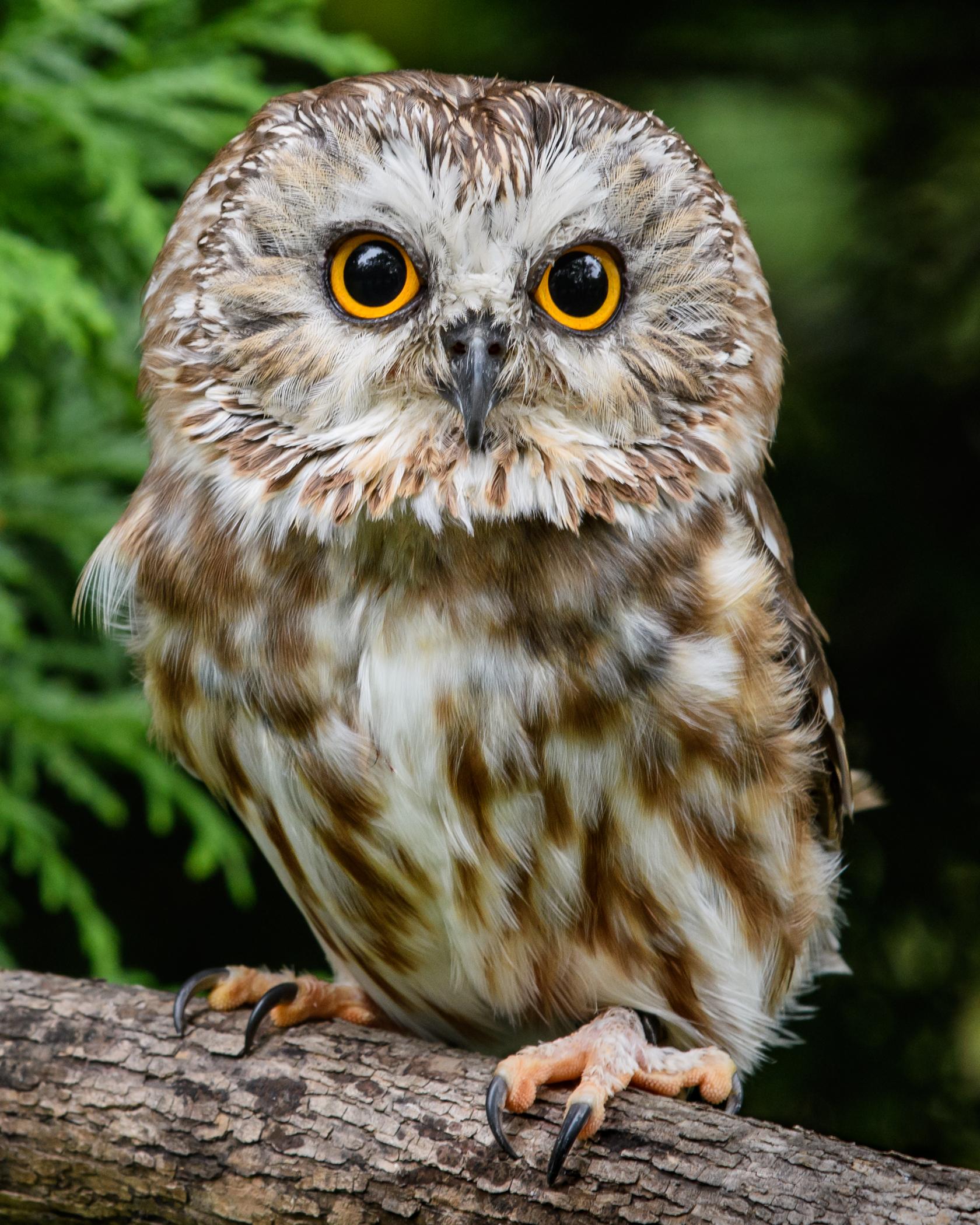 3827~COSP~Dory_Saw_Whet_Owl~Warning~Ken~MFC.jpg