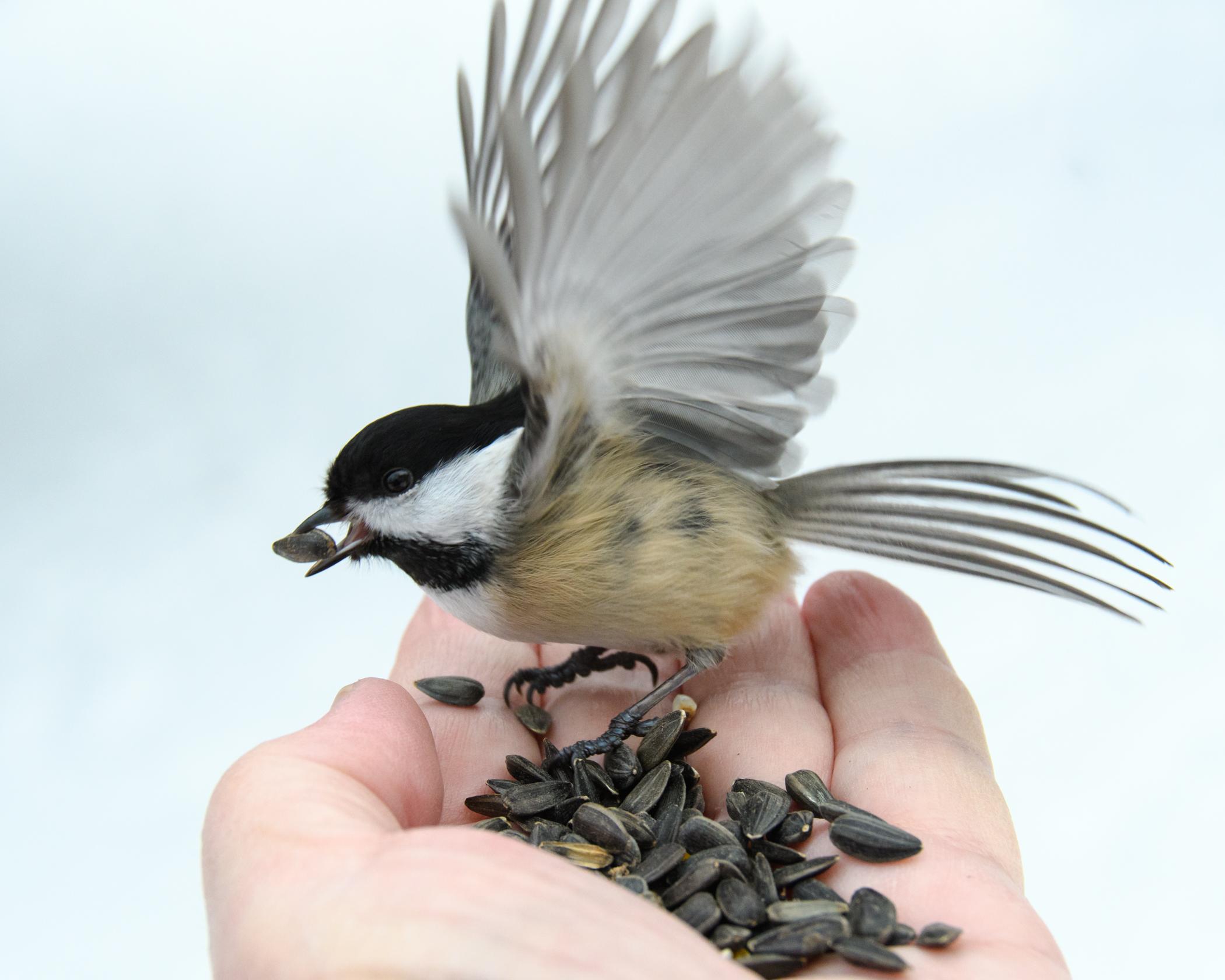 7136~COSP~Bird_In_Hand~Warning~Ken~MFC.jpg