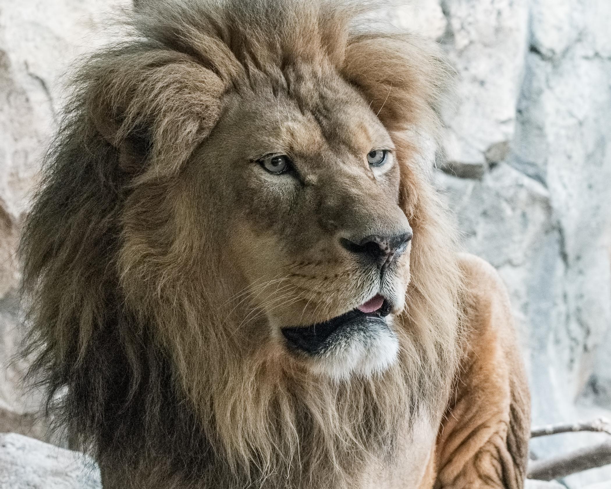 7208~COSP~Lion~Lauttamus~Brian~MFC.jpg