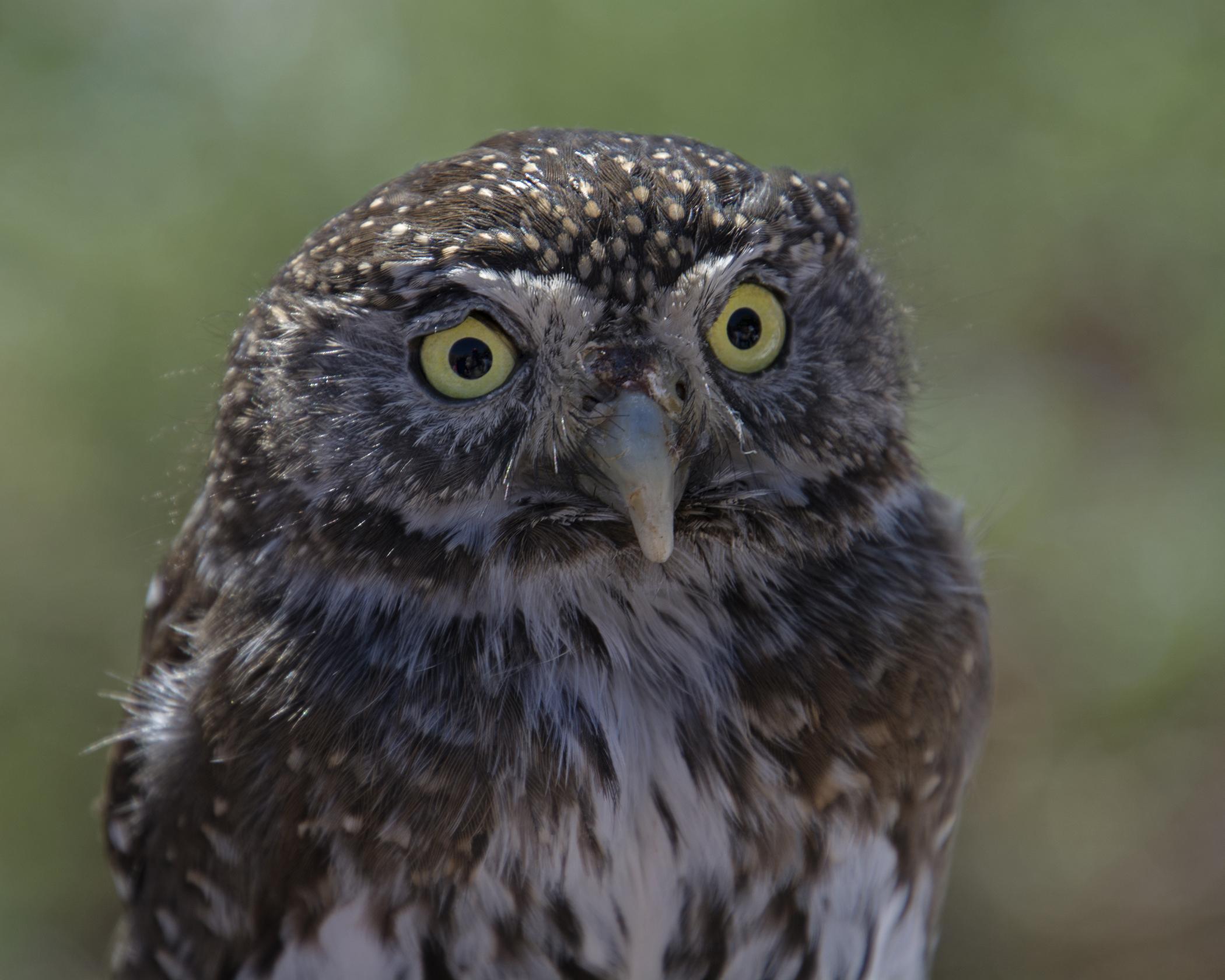 7050~CNP~Pigmy_Owl~Wilson~Milton~RET.jpg