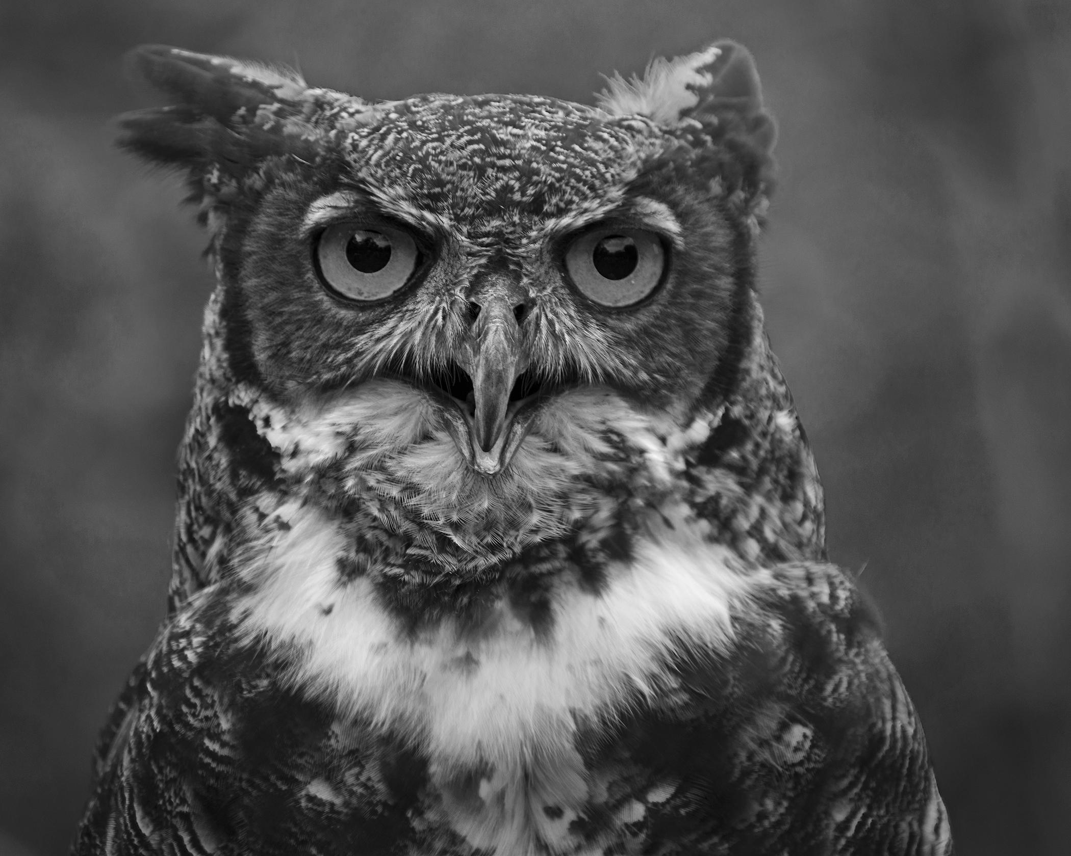 4359~MNP~Great_Horned_Owl~Wilson~Milton~RET.jpg
