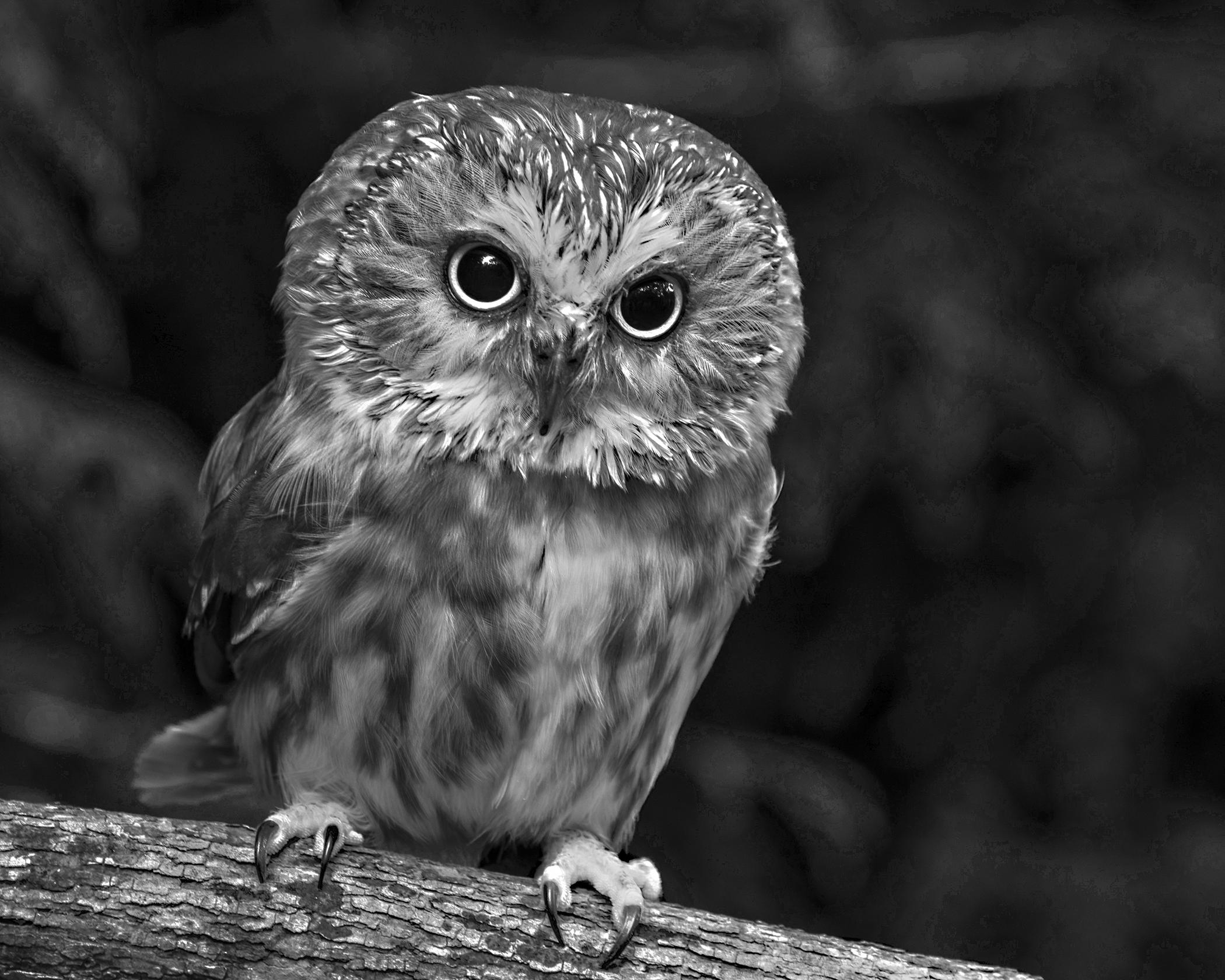 5726~MNP~Screech_Owl~Wilson~Milton~RET.jpg