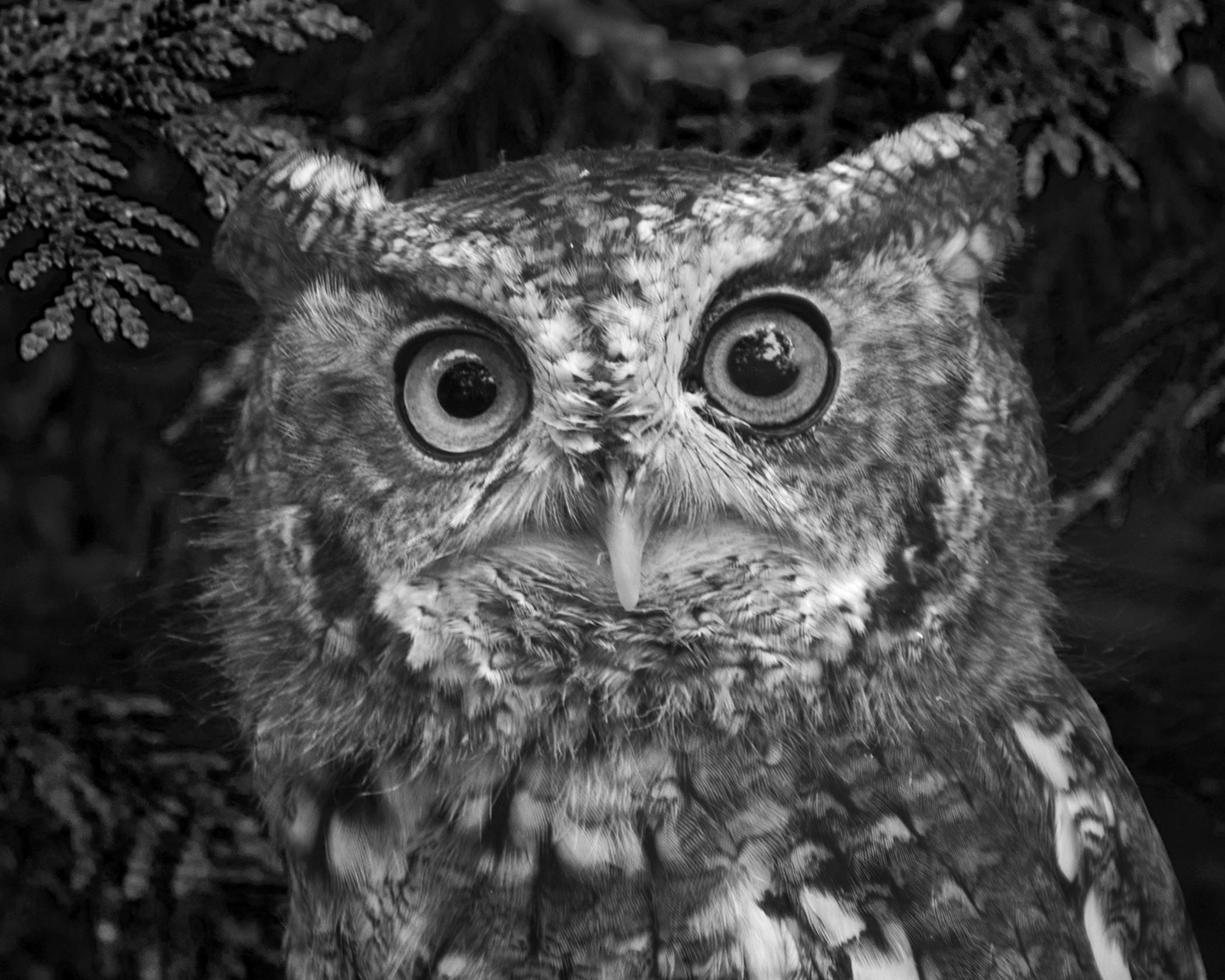 5988~MNP~Saw-Whet_Owl~Wilson~Milton~RET.jpg