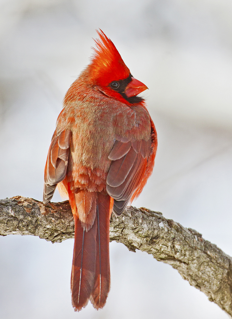 4608~OLP~Cardinal_In_February~Emmerich  Jr~Gerald H~IMC.jpg
