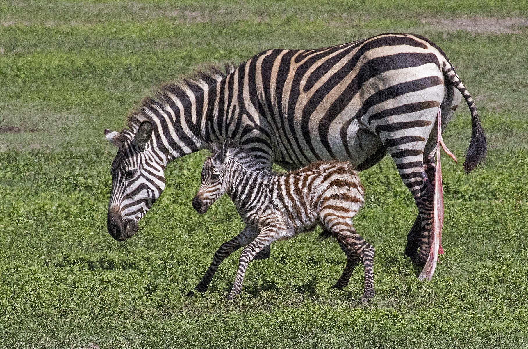 5710~CNSP~Newborn_Zebra~Emmerich  Jr~Gerald H~IMC.jpg