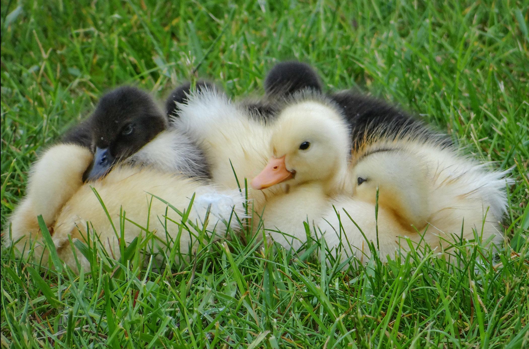 Nesting Babies - Roger Swacker