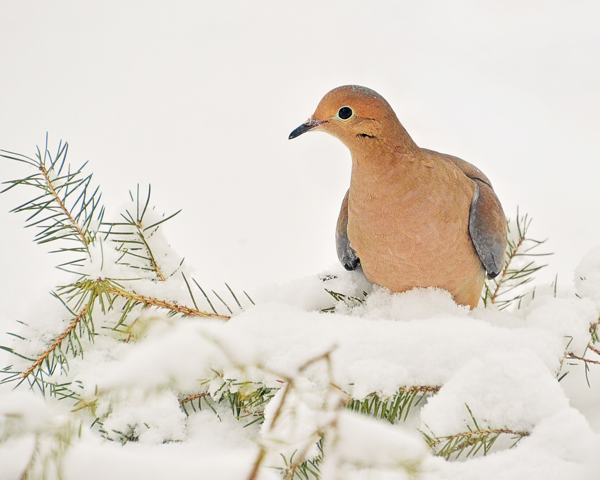 Curious Dove - Laurie Painter