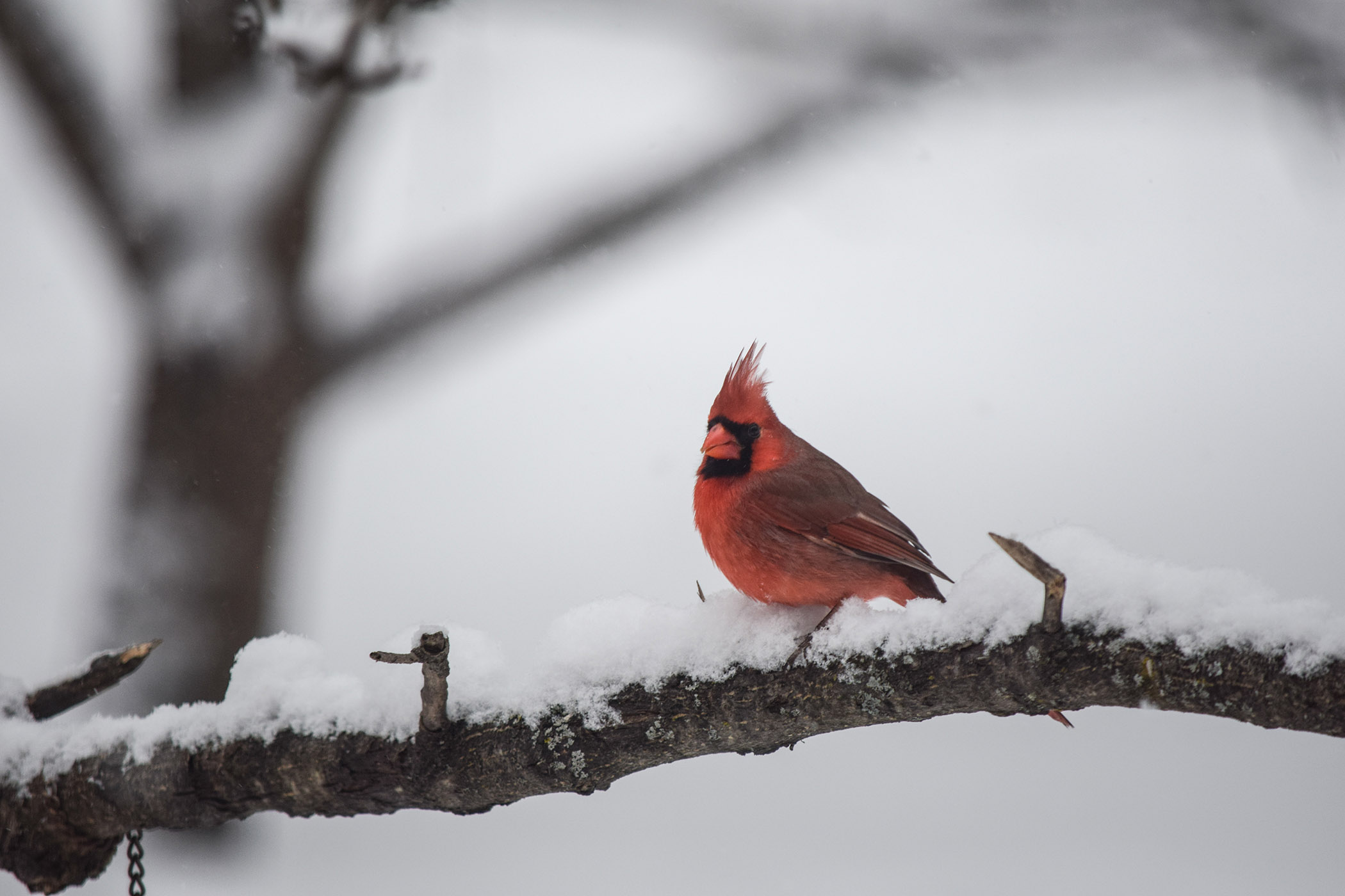 Cardinal Color - Sandy Smith