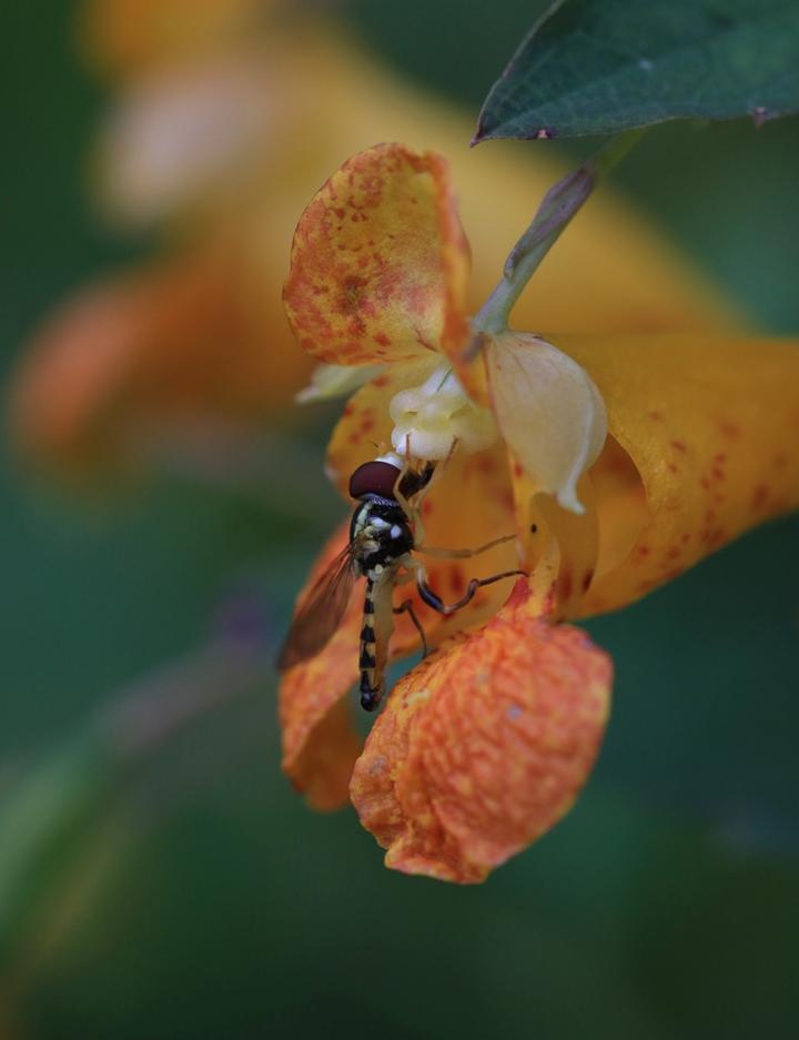 Flower Fly on Jewelweed - Glenda Henning