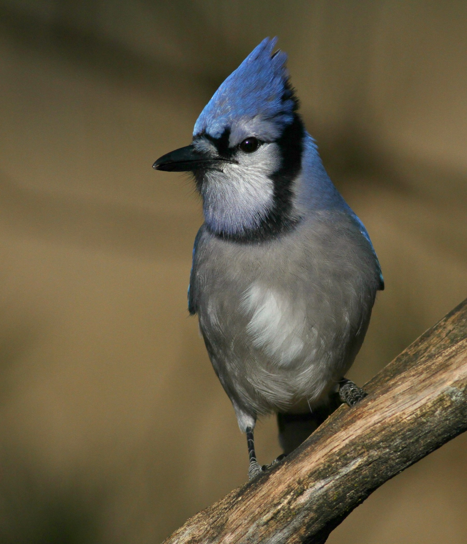 3rd Place~Blue Jay 8286~Jim Edlhuber~Retzer Nature Center