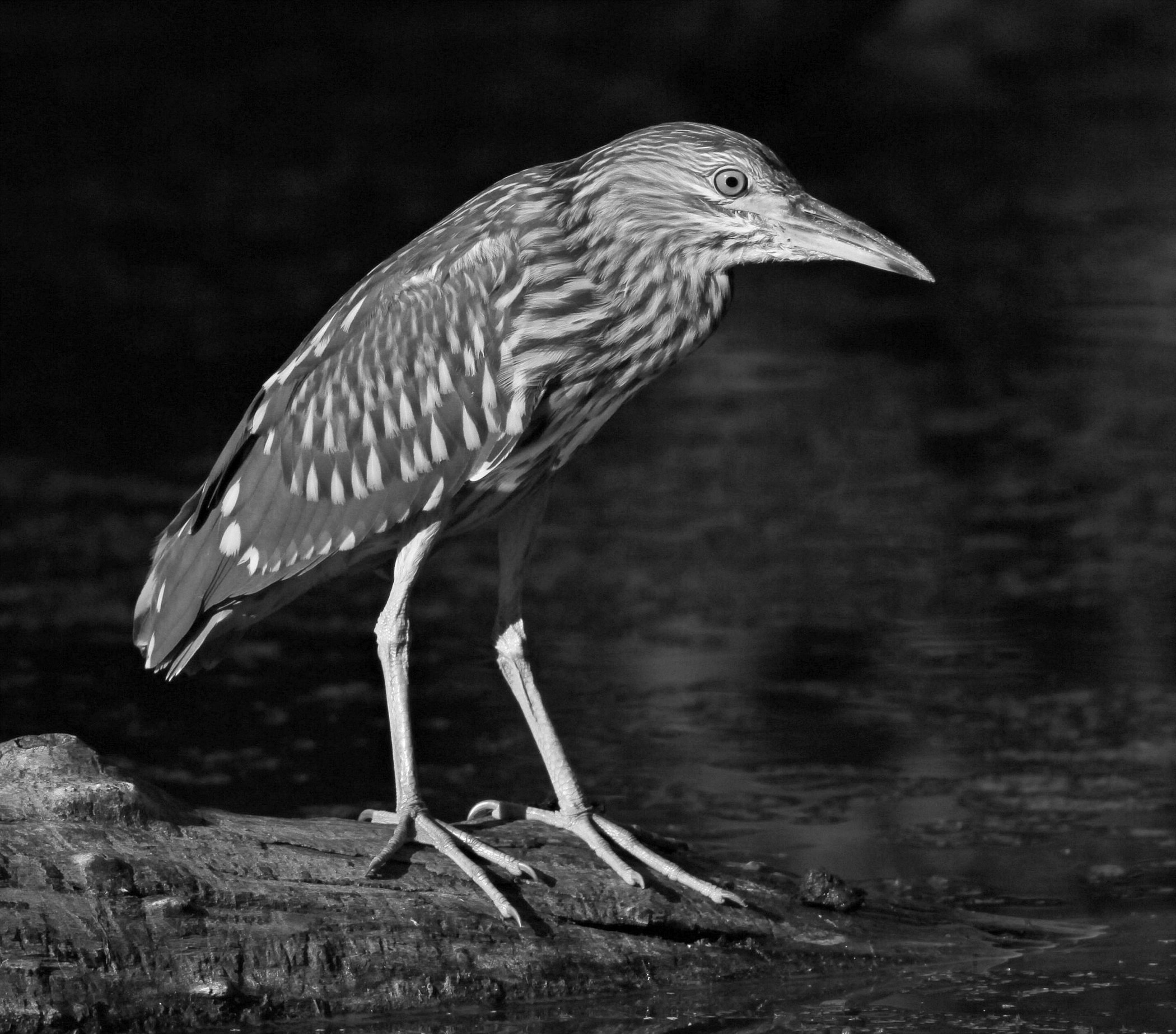 1st Place~Black-crowned Night Heron 5288~Jim Edlhuber~Retzer Nature Center