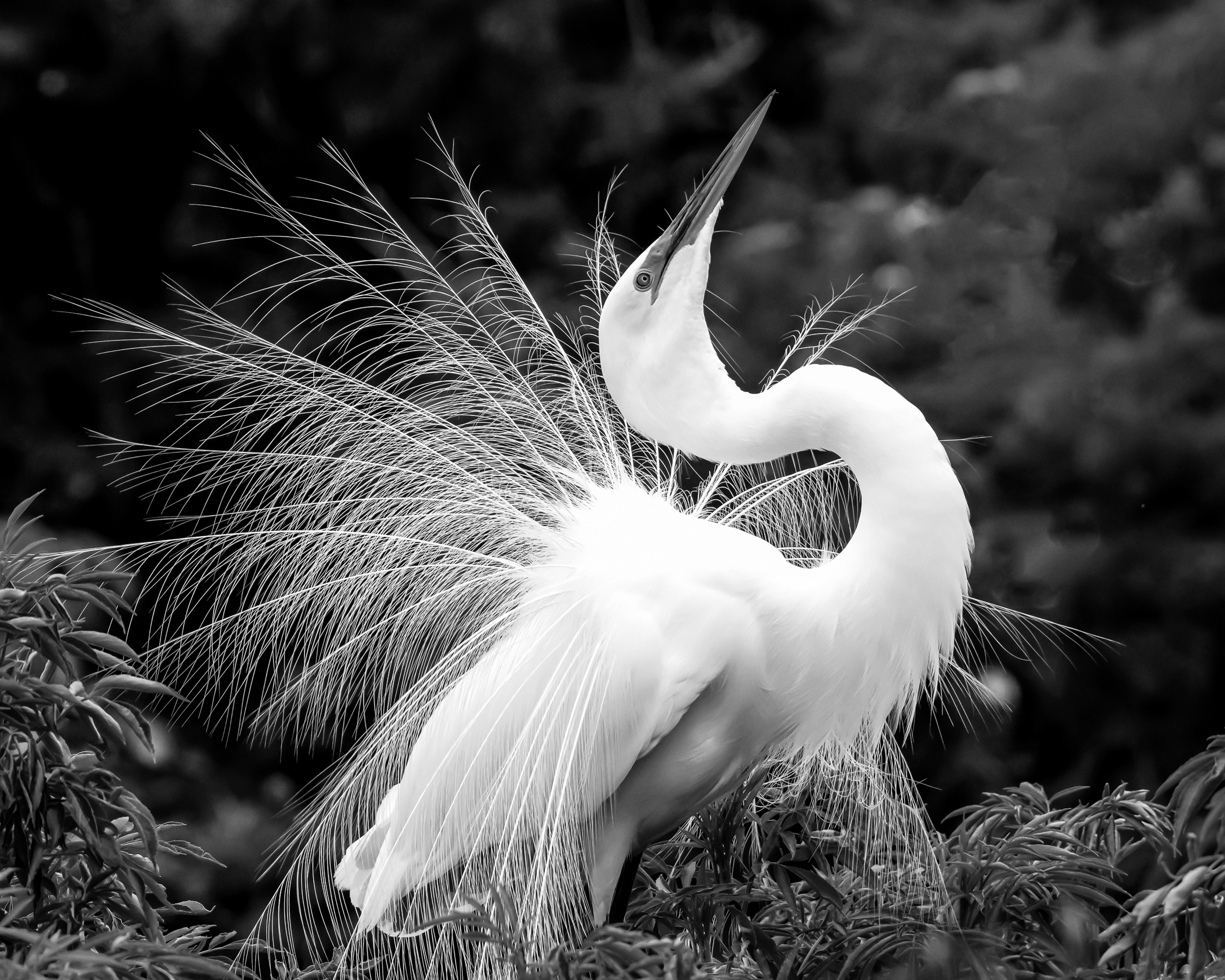 2nd Place~Great Egret Display BW~Ken Warning~Menomonee Falls