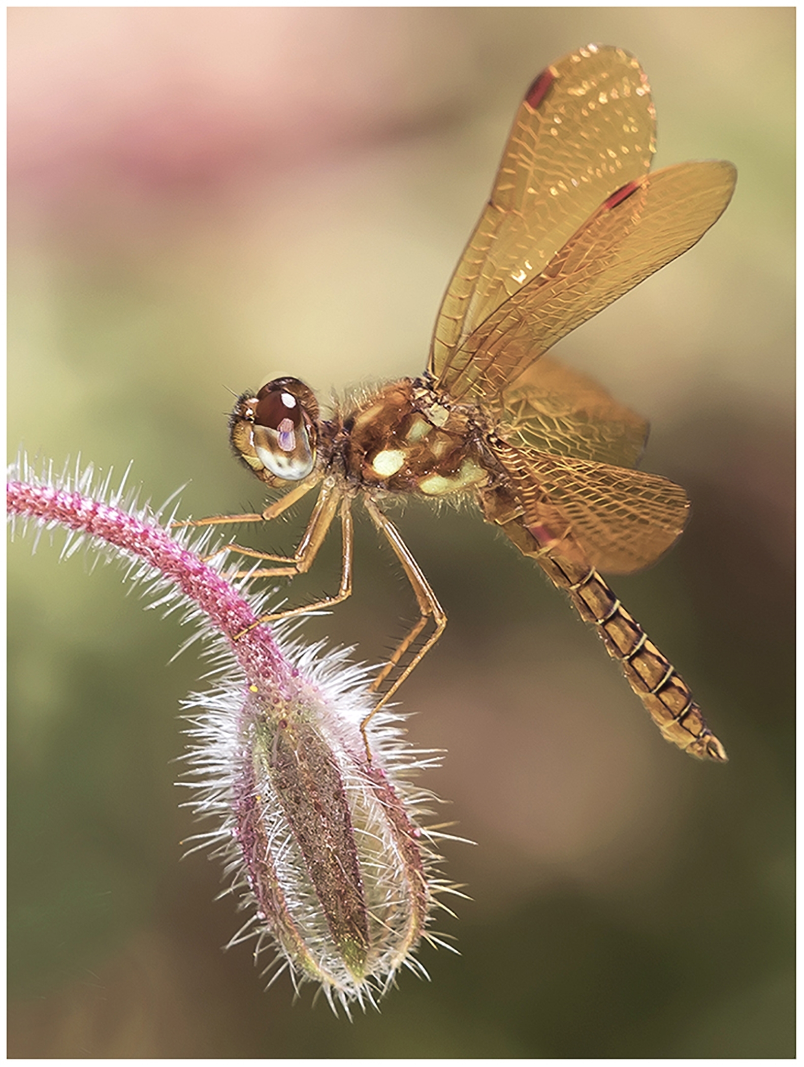 Best of Show Project Image ~Eastern Amberwing Male~Kurt Huebner~Retzer Nature Center