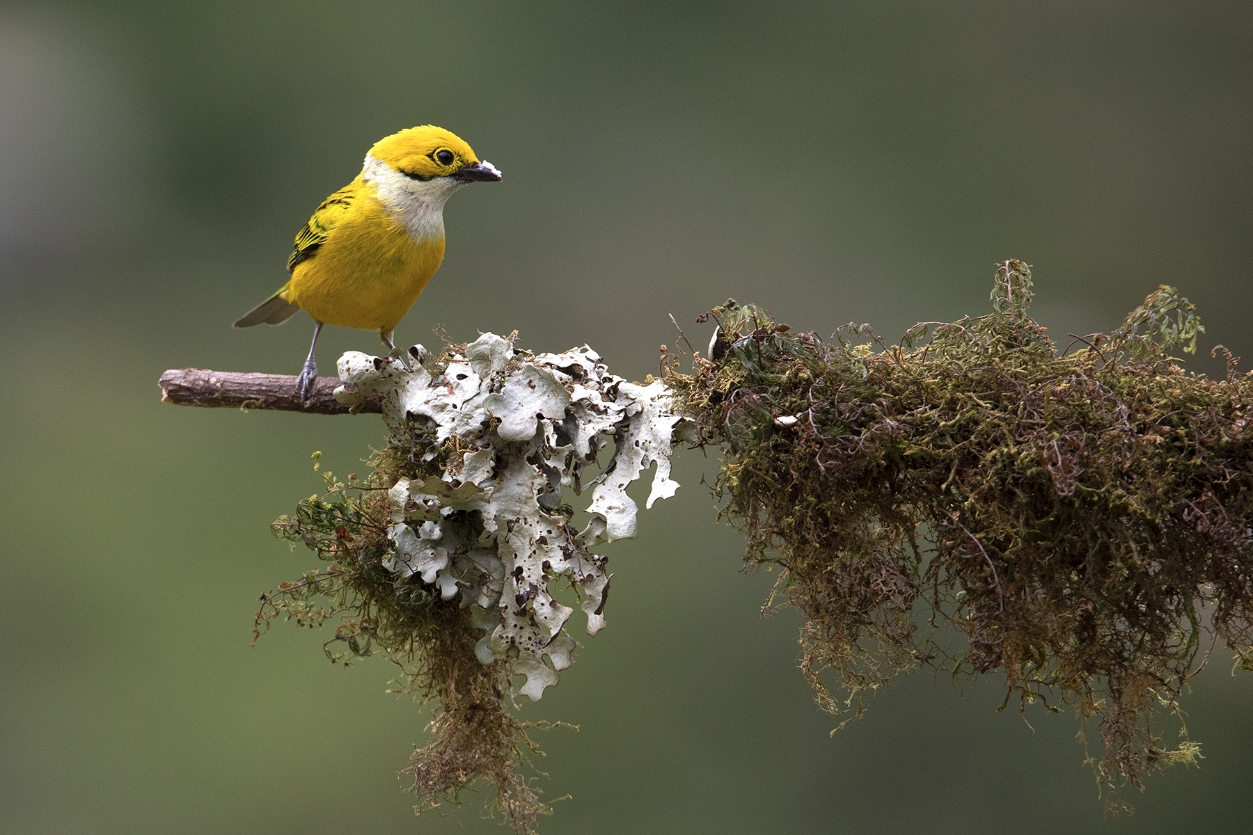 2nd place - Silver Throated Tanager~Jill Newton Moore - Wehr Nature Center