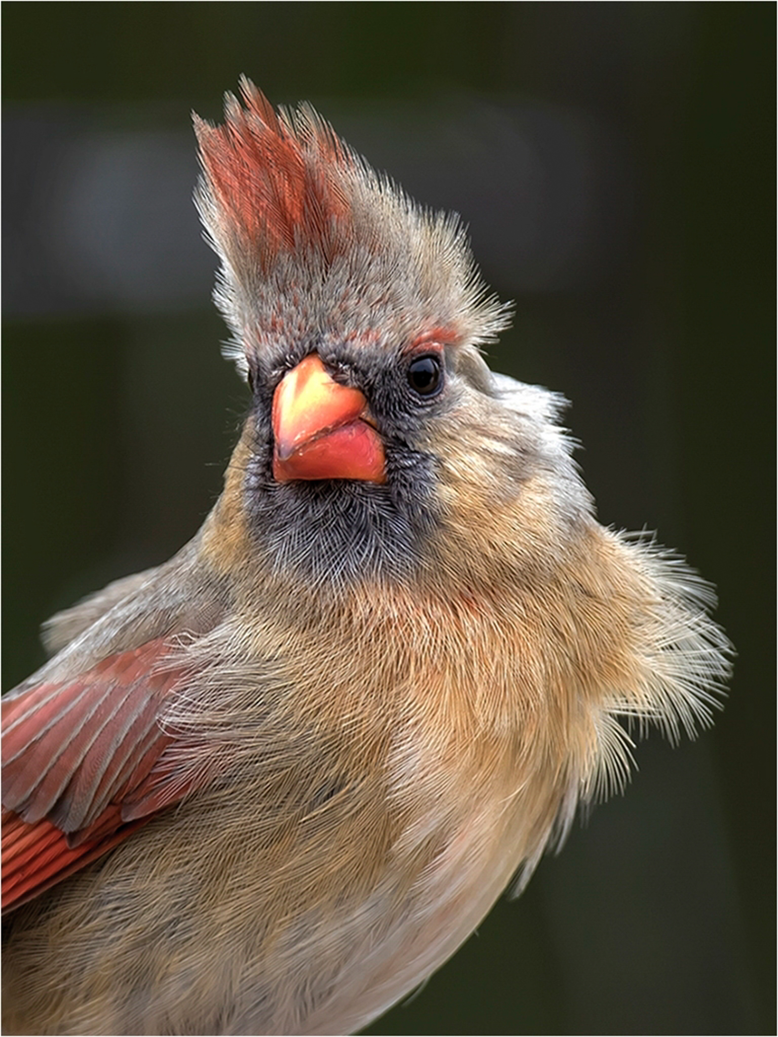 1st Place - Cardinal Bad Hair Day~Kurt Huebner