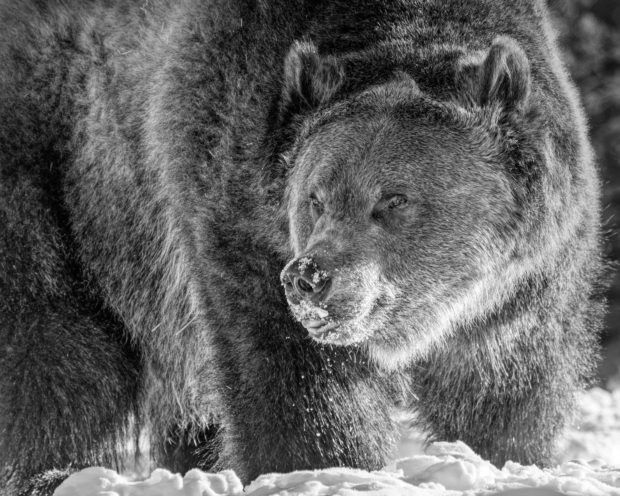 1st Place~Grizzly Bear B&W~Jane Hirst