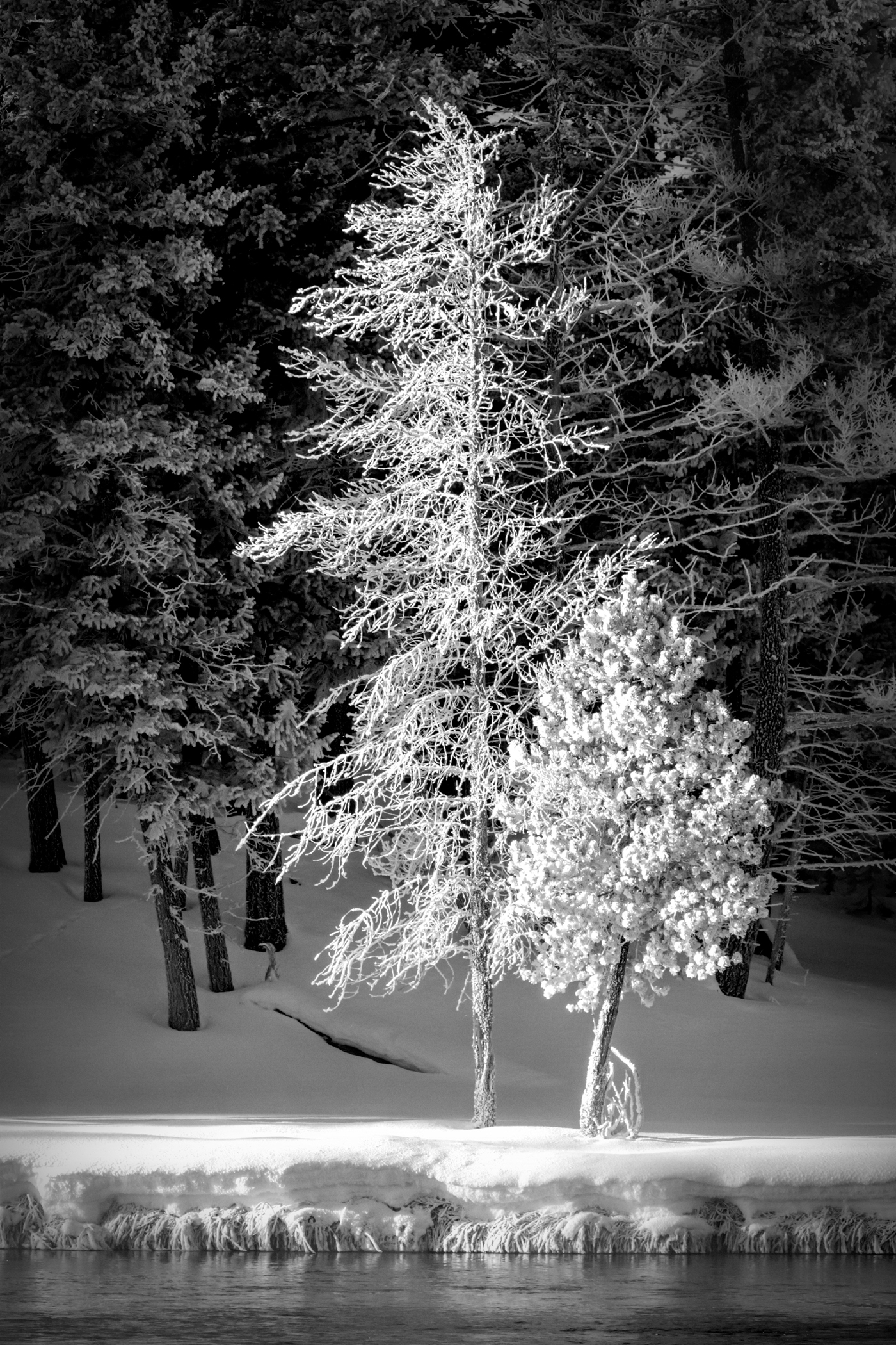 2nd Place~Frosted Lodge Pole Pine~Jane Hirst