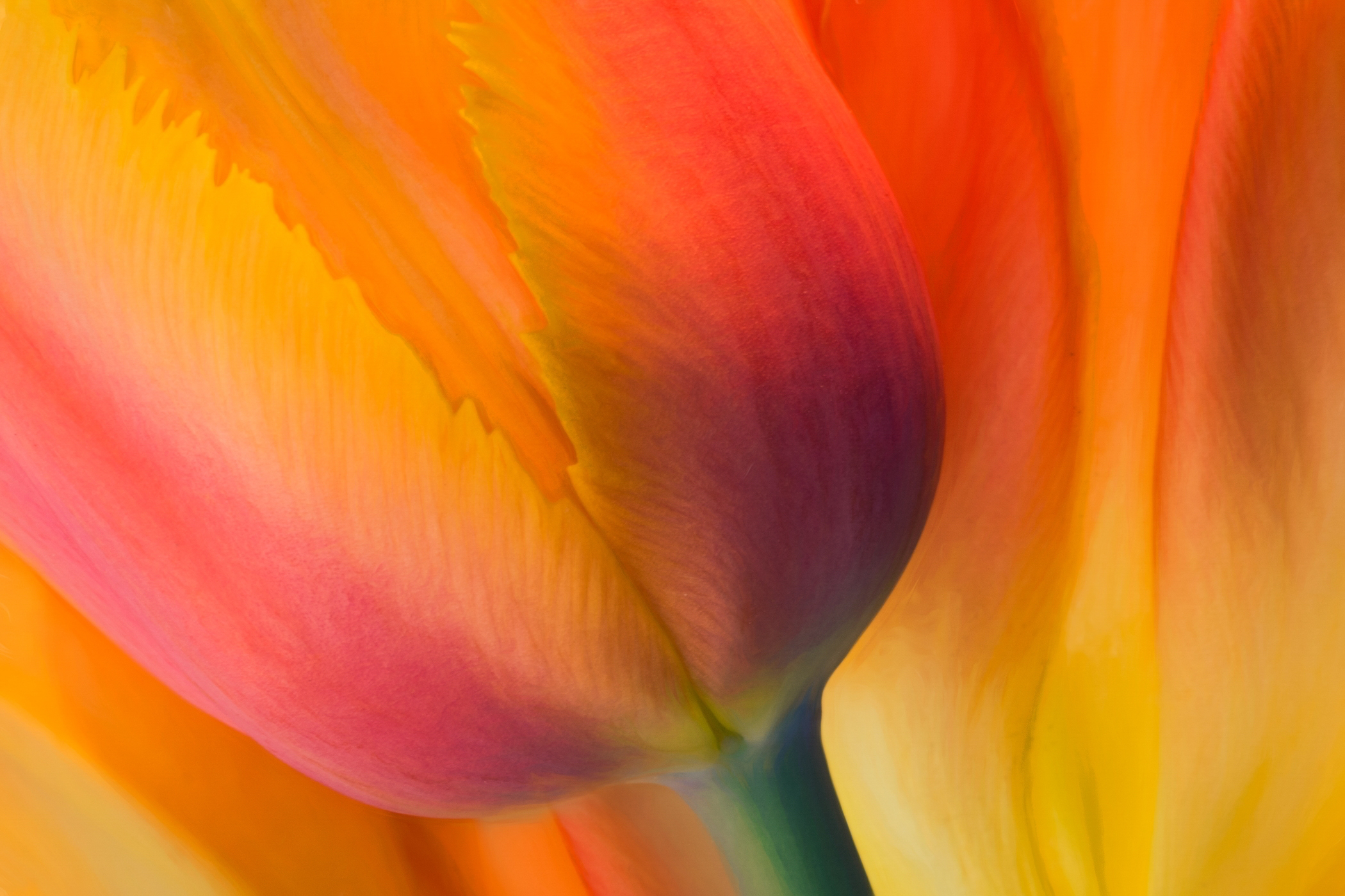 2nd Place~Flaming Tulips~Jane Hirst