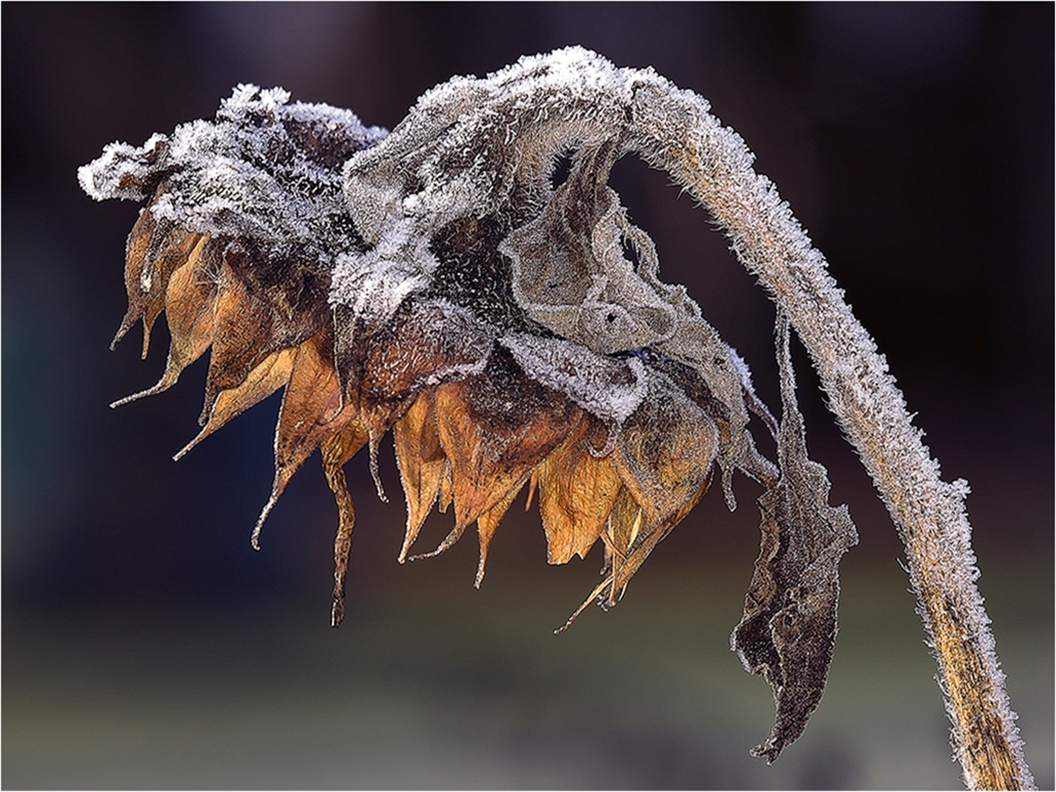 Best of Show - Frosty Senescent Sunflower~Kurt Huebner