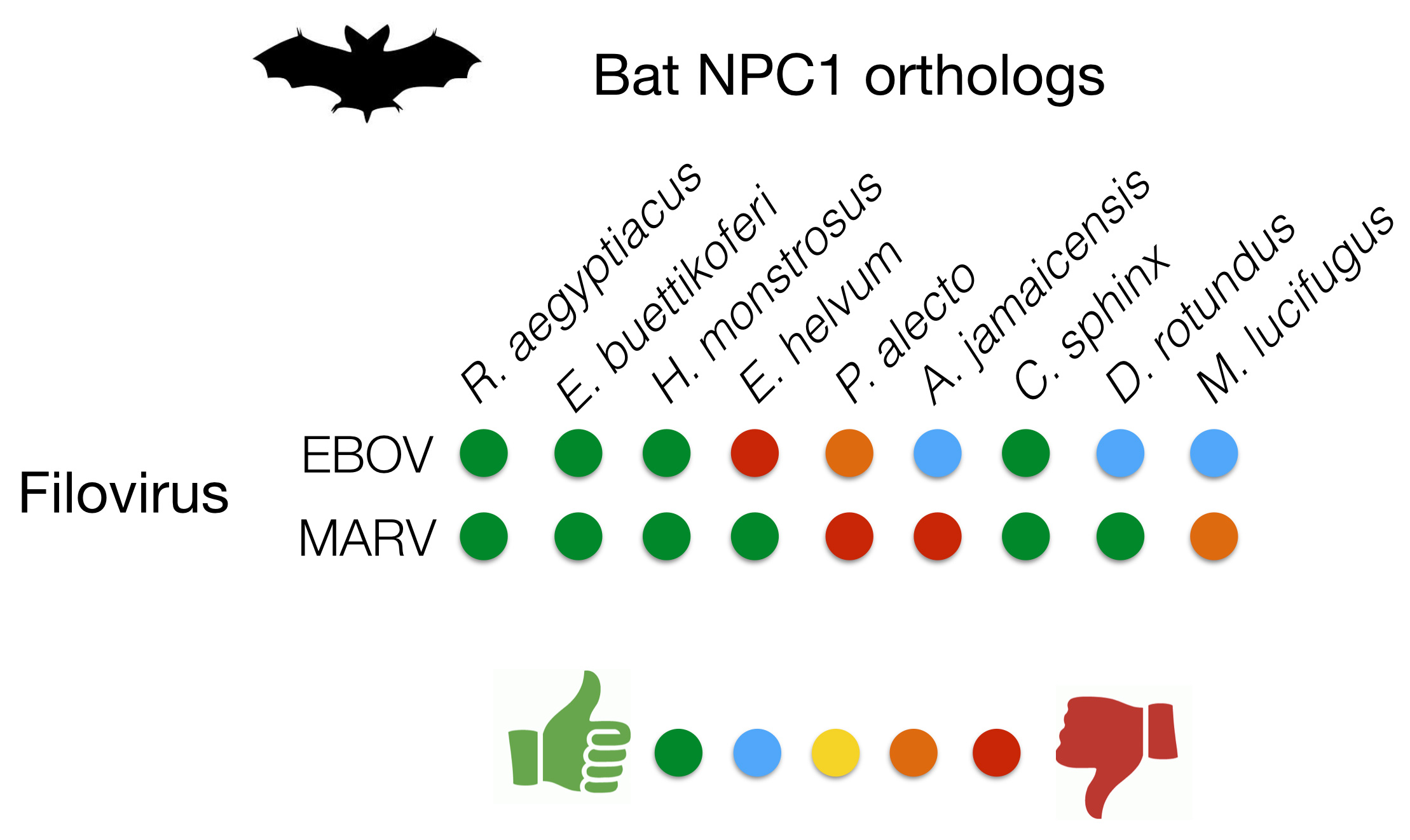 PATTERN OF EBOV (EBOLA VIRUS) AND MARV (MARBURG VIRUS) GP BINDING TO NPC1 PROTEINS DERIVED FROM DIFFERENT SPECIES OF BATS. GREEN IS GREAT BINDING, RED IS NO DETECTABLE BINDING. © KARTIK CHANDRAN