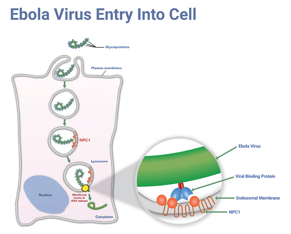 EBOLA VIRUS ENTRY INTO CELL