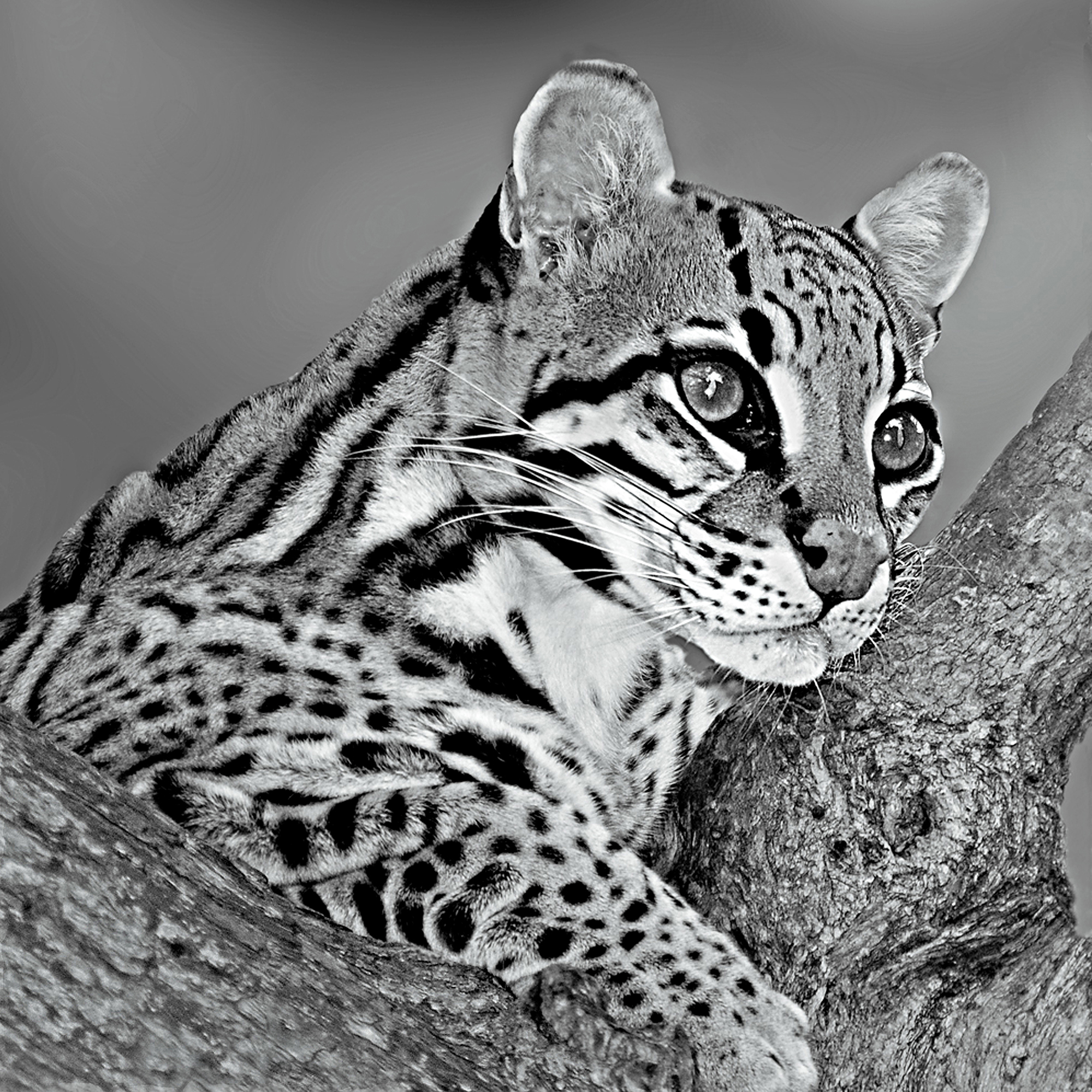 ocelot with tree