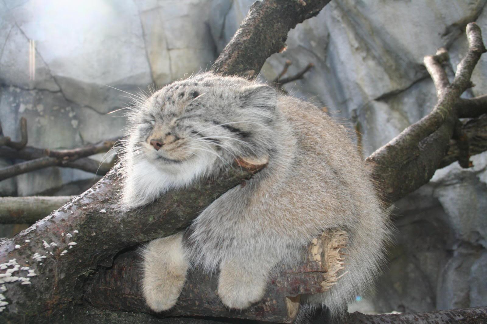 Pallas-Cat-withtree.jpg