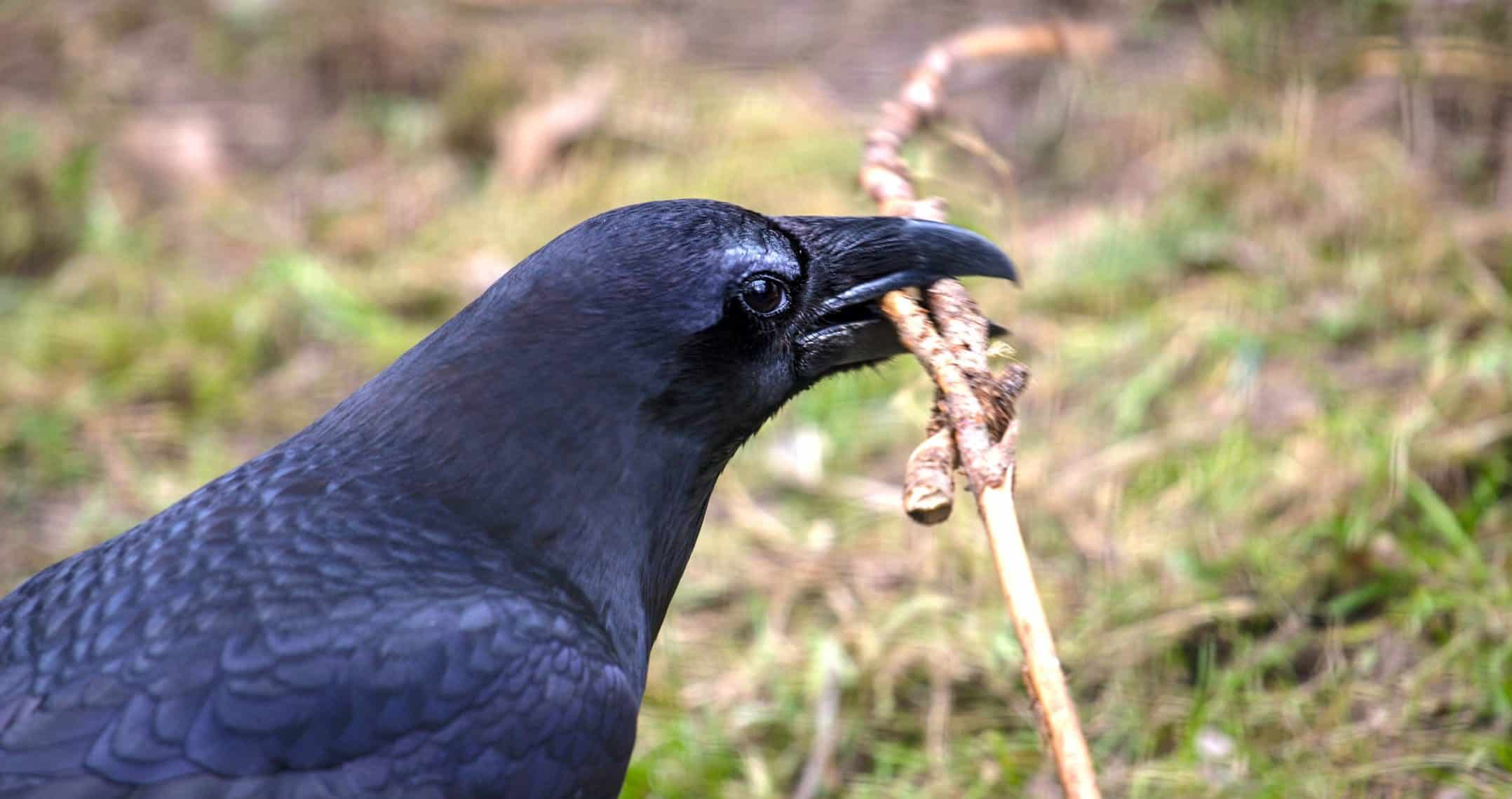 Raven-playing-with-twigs-e1516297530563.jpg