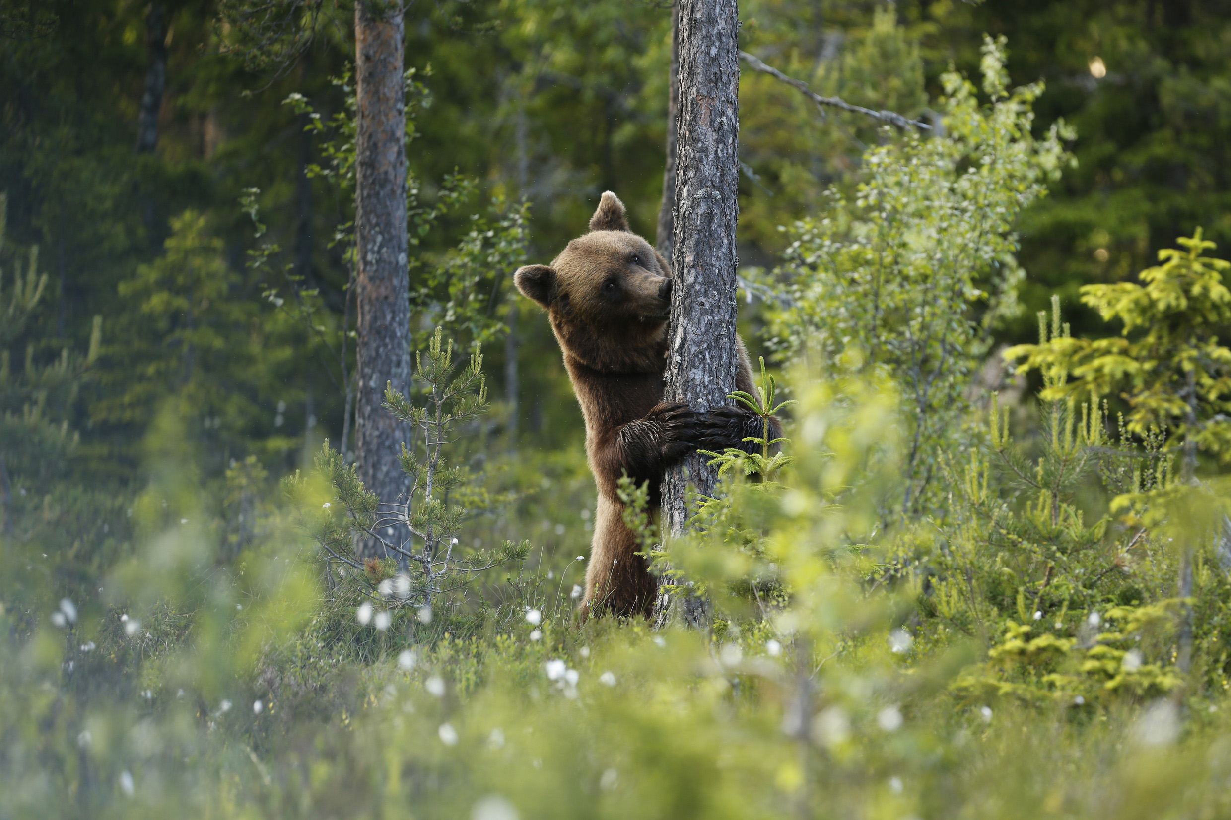 Brown-bear1.jpg