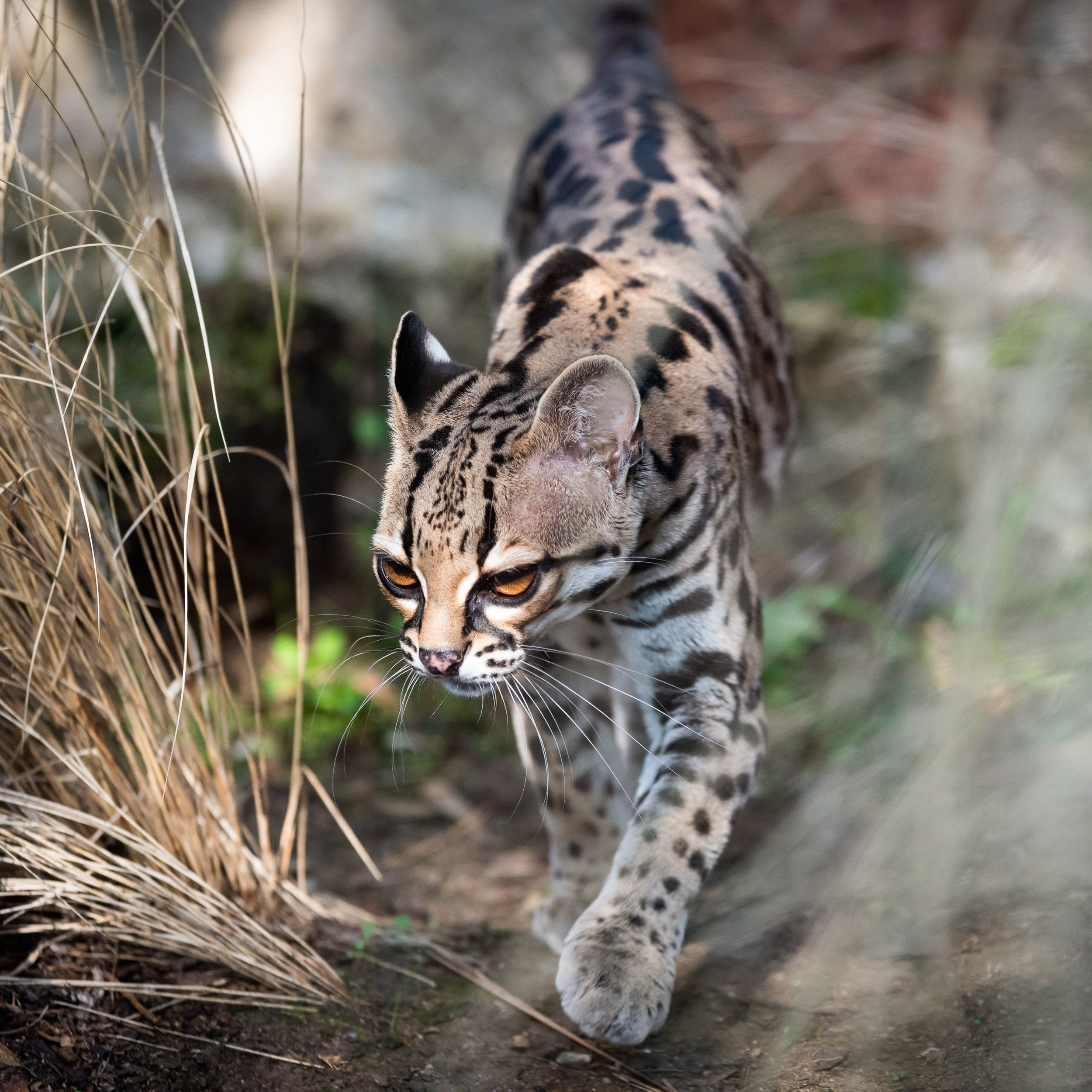 close-up-of-ocelot-by-plant-1127563331-5c893fe446e0fb0001431a81.jpg