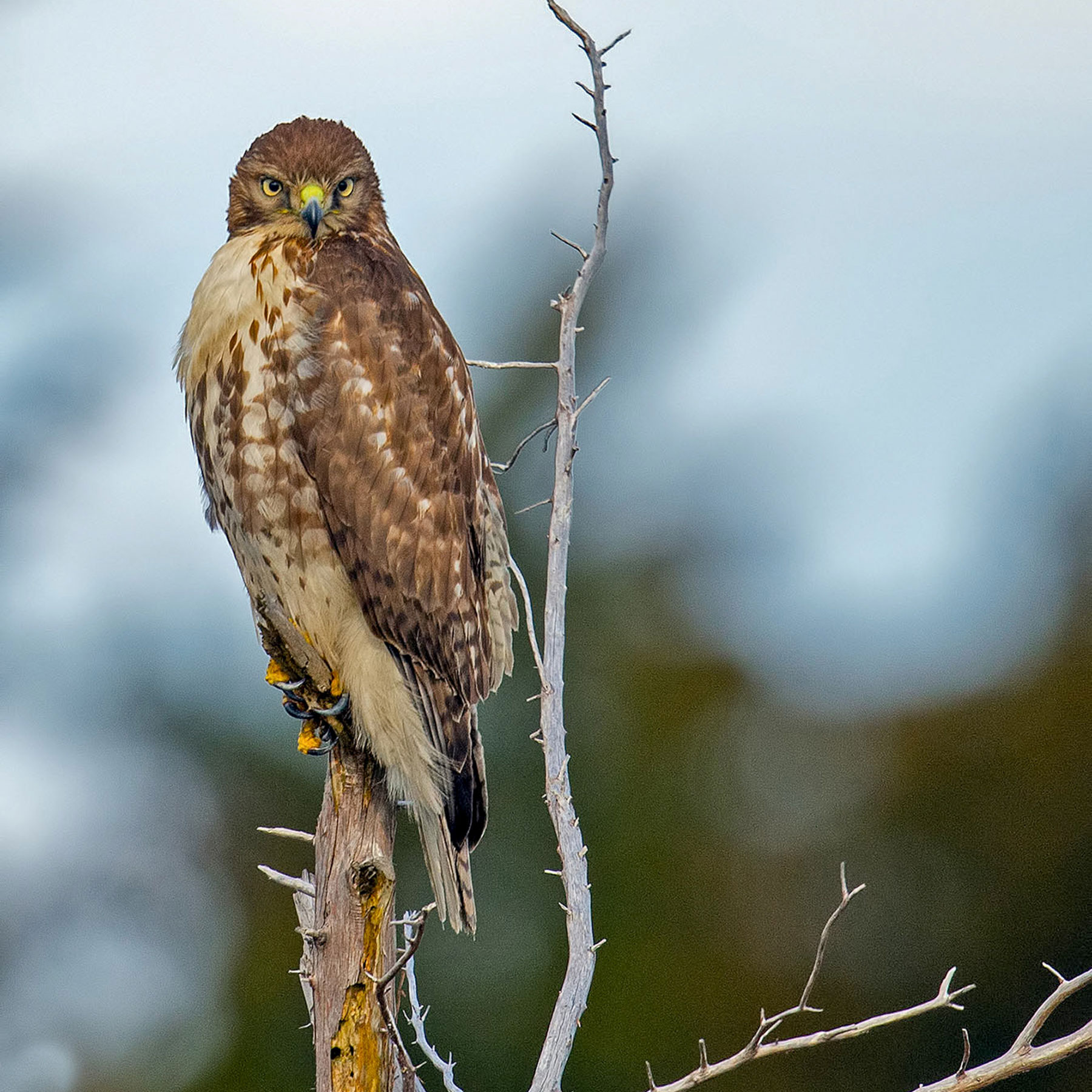 web_apa_2015_briankushner_red-tailed_hawk_kk.jpg