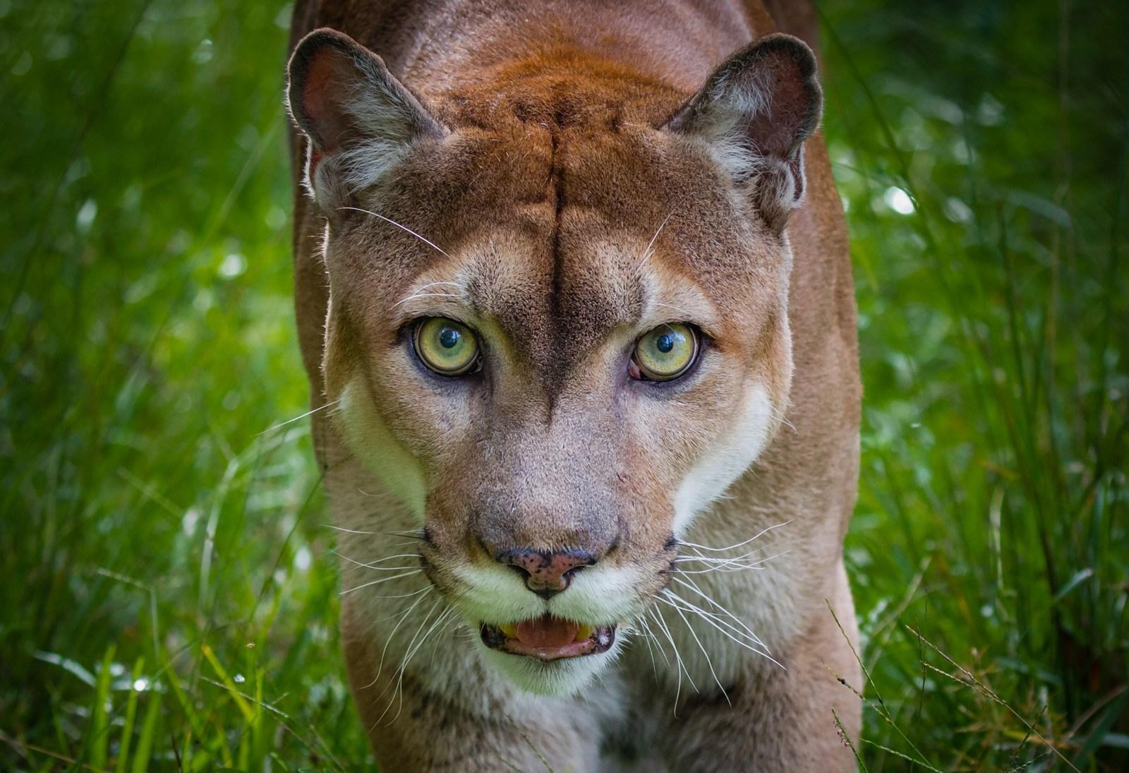 PantherAnimalTotem.jpg