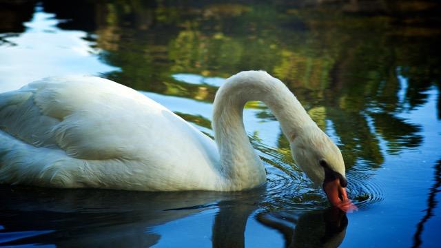 Kauai Swan