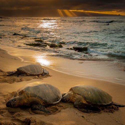 Ho'okipa Turtles